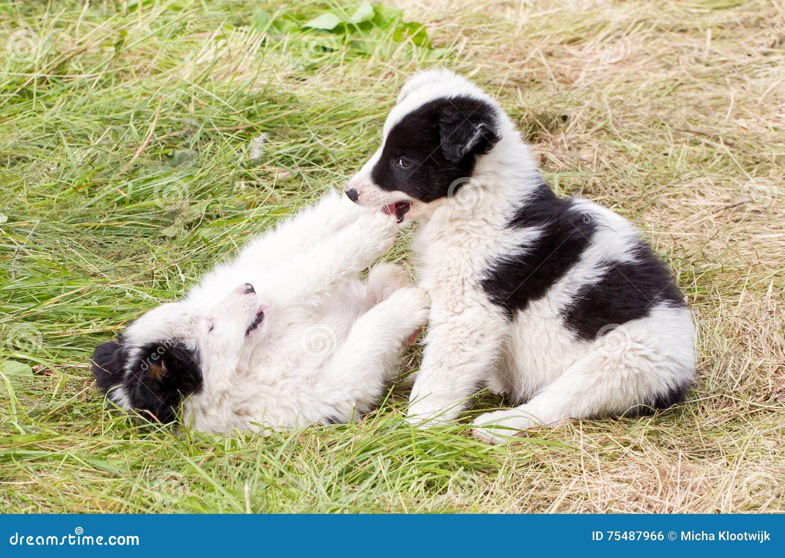 Dos perritos juguetones del border collie