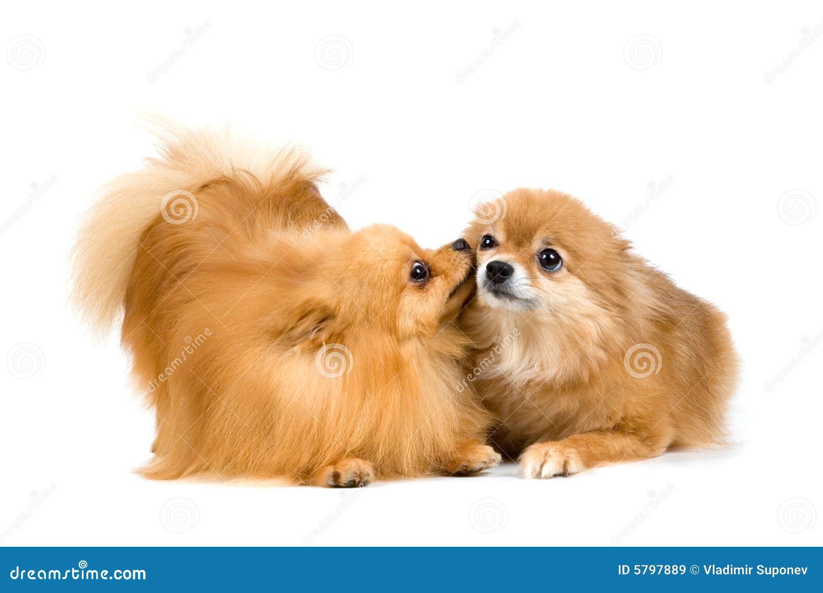 Dos Perro De Pomerania-perros En Estudio Imagen de archivo - Imagen ...