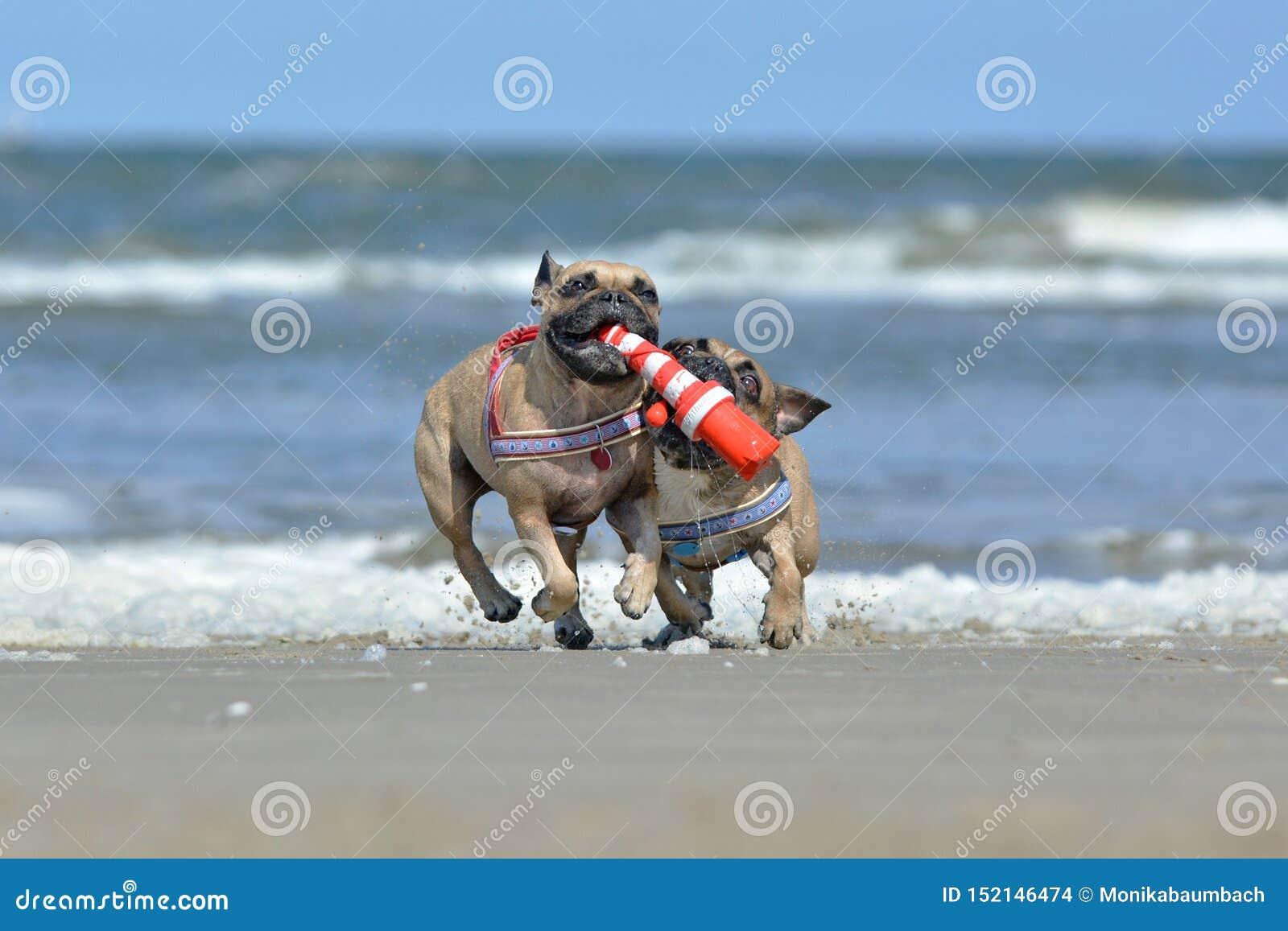 Dos perros atléticos del dogo francés del cervatillo que juegan búsqueda en la playa con un juguete marítimo del perro