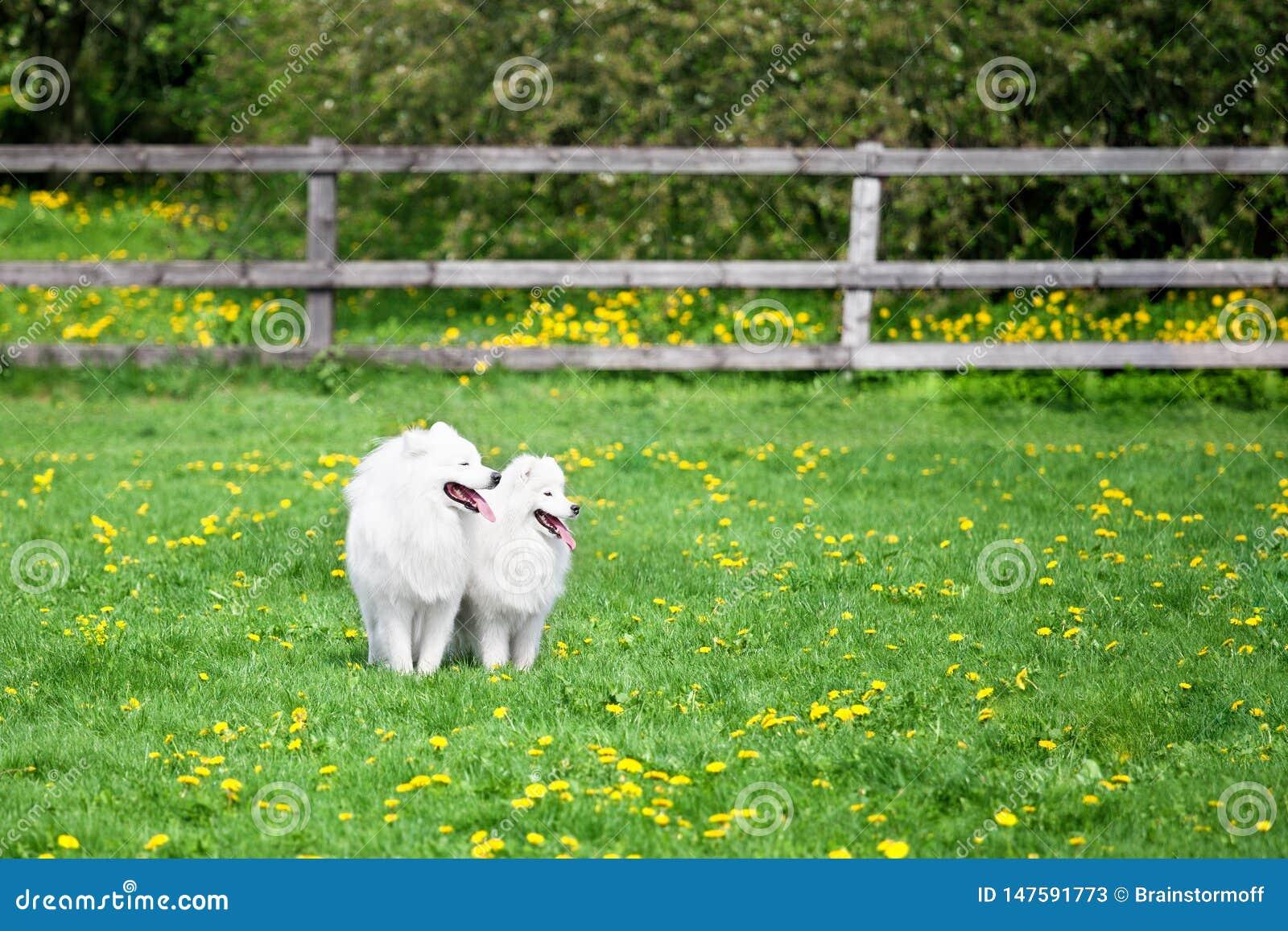 Dos perros blancos de los samoyedos se sientan en hierba verde y campo de flores amarillo en los animales domésticos soleados del