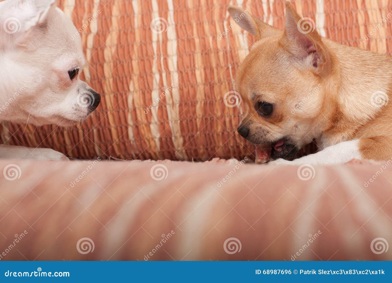 Dos perros de la chihuahua que mienten en el sofá con la invitación cauchutosa
