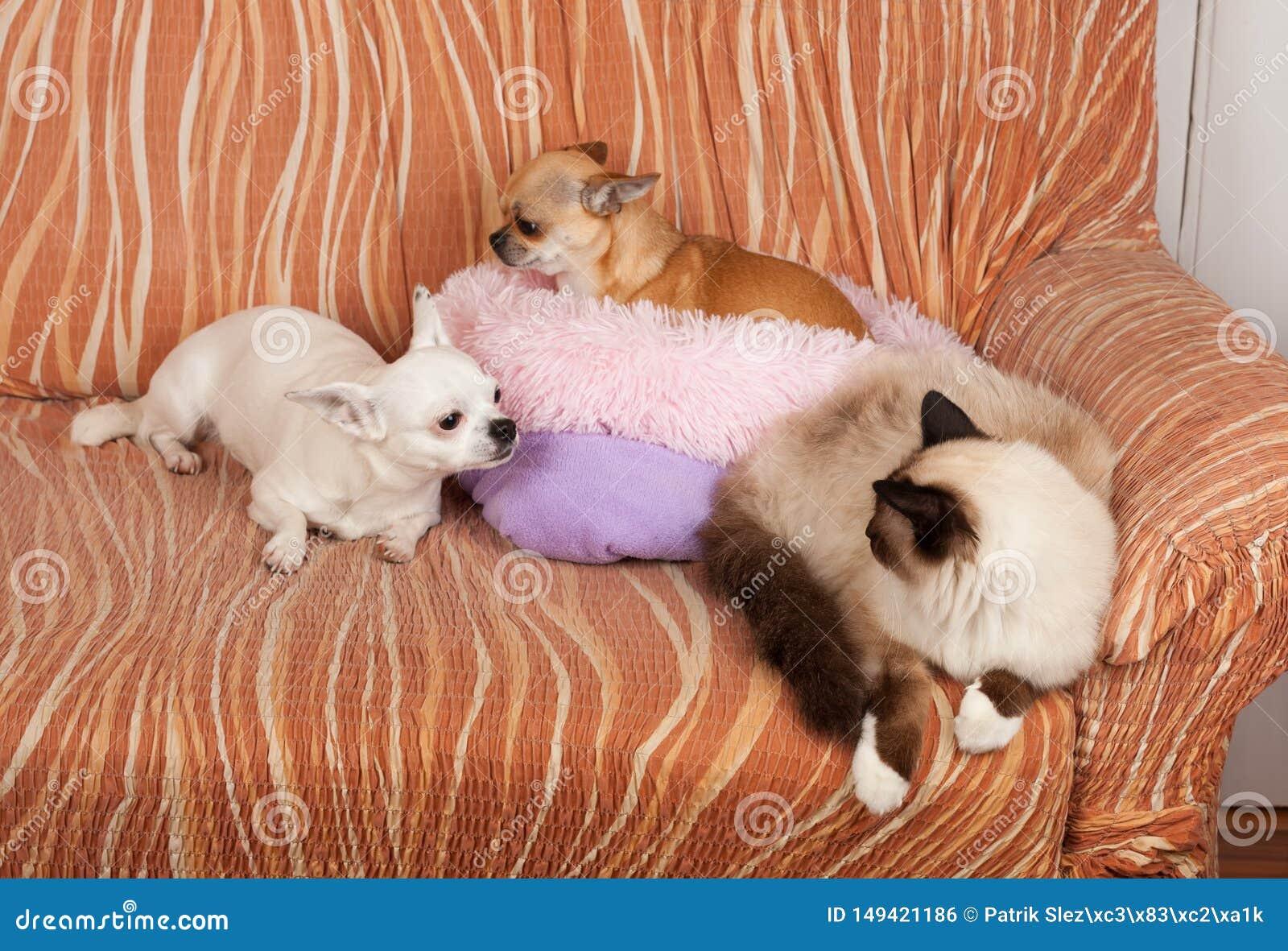 Dos perros de la chihuahua y un gato de Birman del punto del sello est?n mintiendo en el sof?