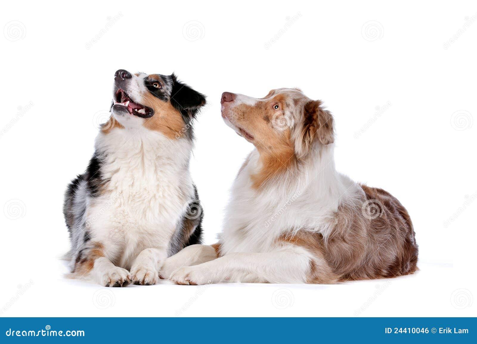 Dos perros de pastor australianos
