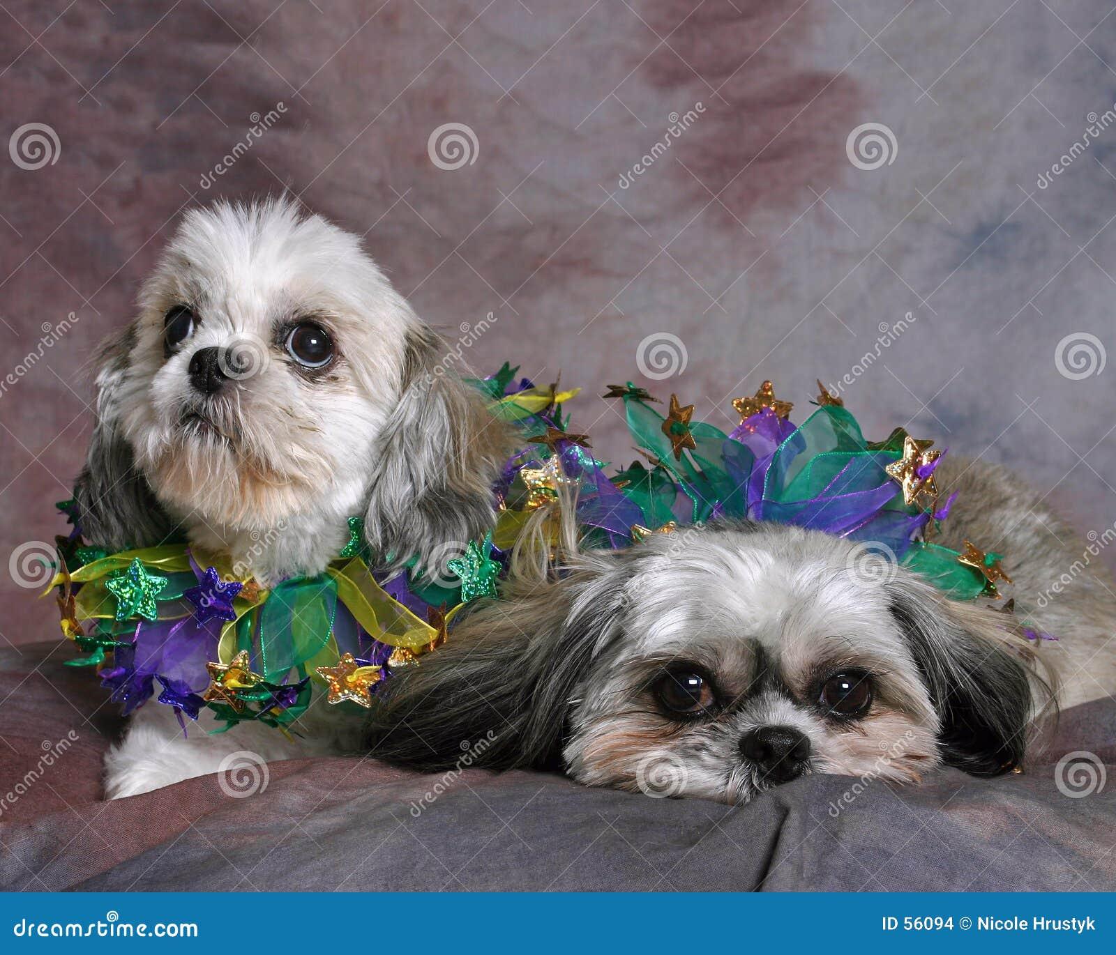 Dos perros de Shi Tzu