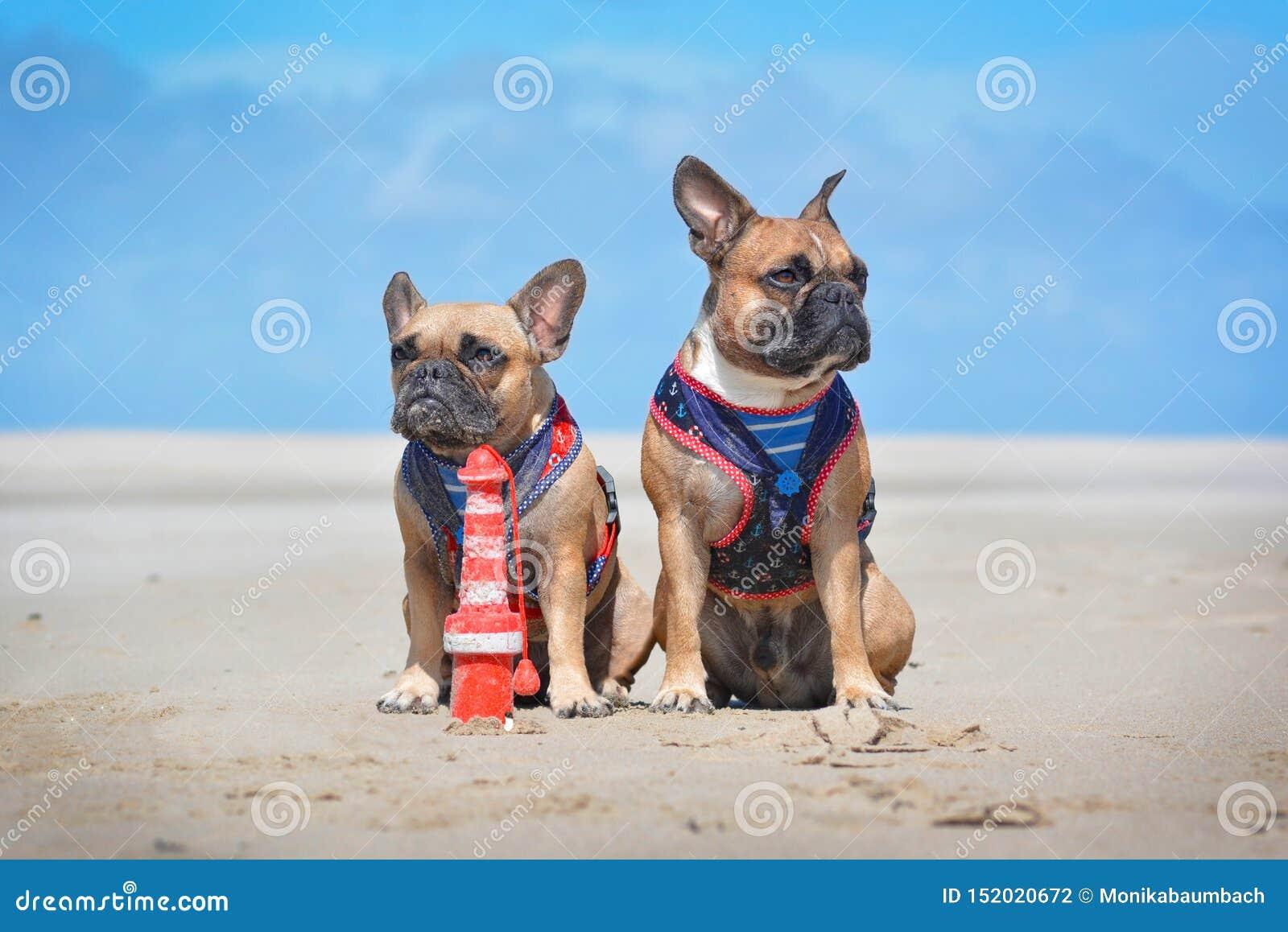 Dos perros del dogo francés en los holidas que se sientan en la playa delante del cielo azul claro que lleva haciendo juego el ar