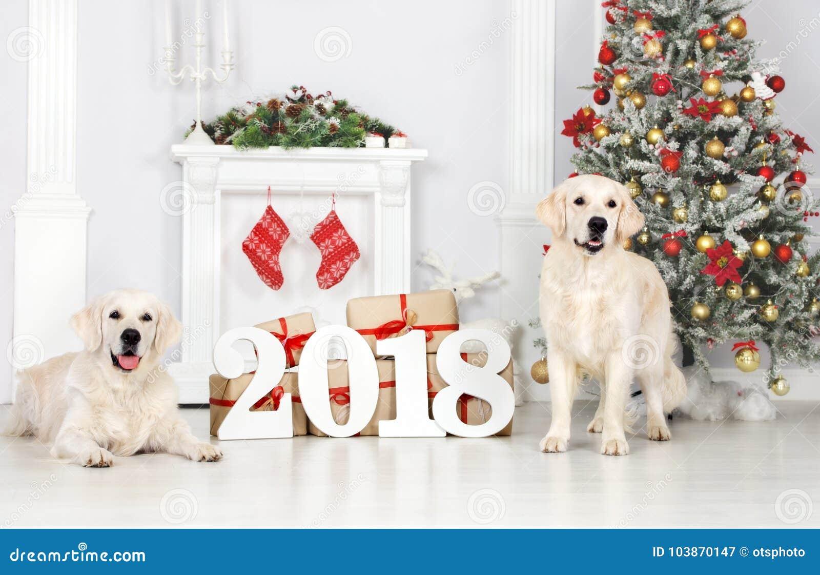 Dos perros del golden retriever que presentan dentro por el Año Nuevo 2018