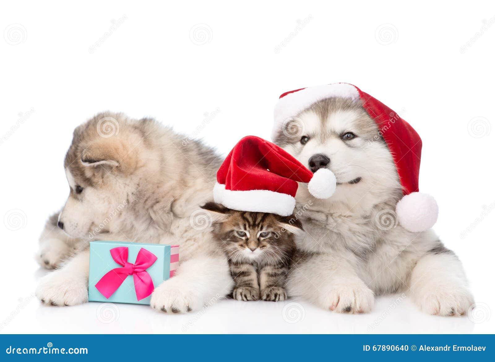 Dos perros del malamute de Alaska y gatos de mapache de Maine en los sombreros rojos de santa Aislado en blanco