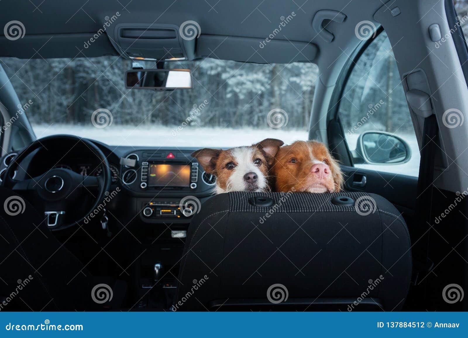 Dos perros lindos en el coche en la mirada del asiento Un viaje con un animal doméstico Nova Scotia Duck Tolling Retriever y Jack