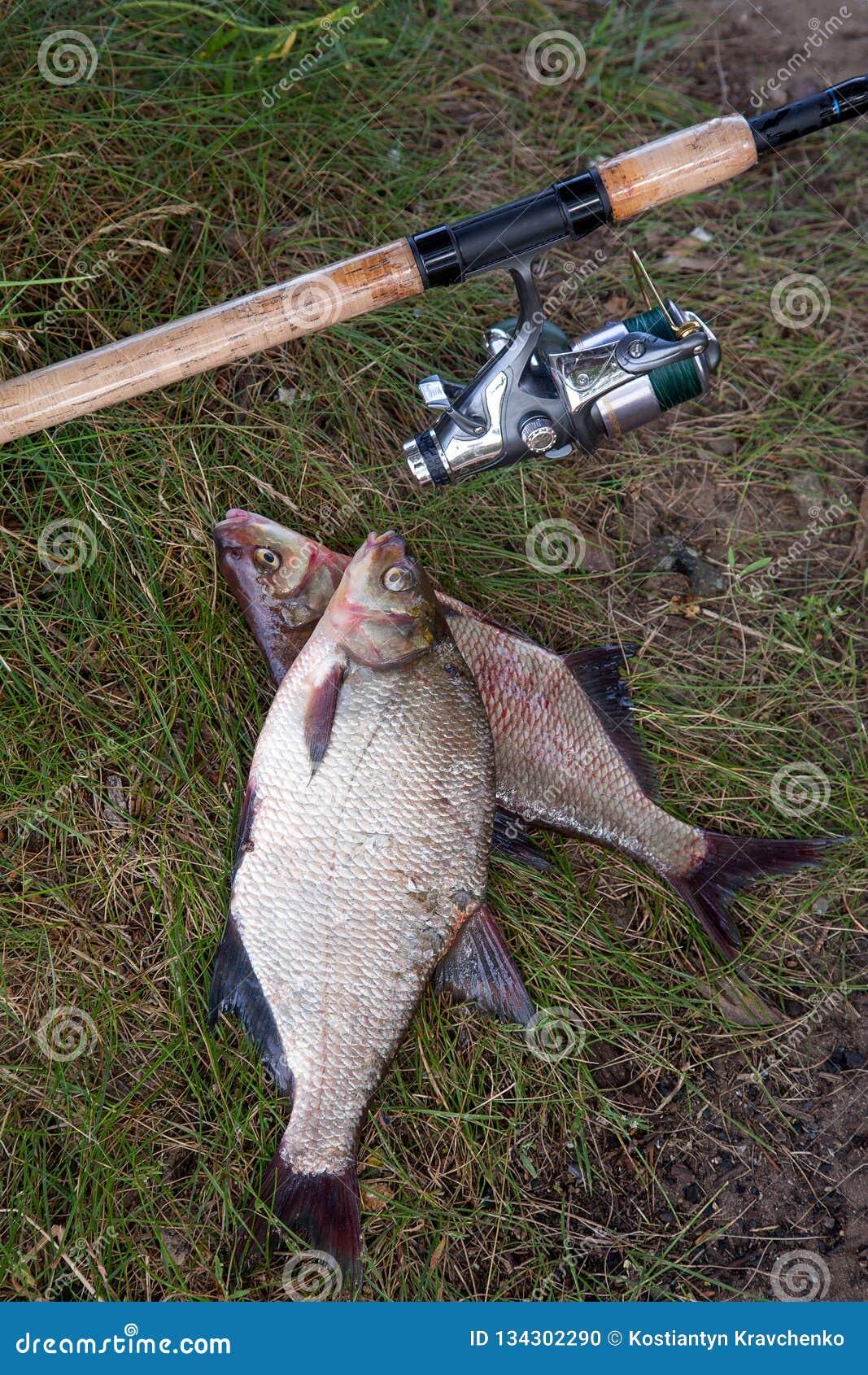 Dos pescados y cañas de pescar comunes de agua dulce grandes de la brema con el carrete en fondo natural