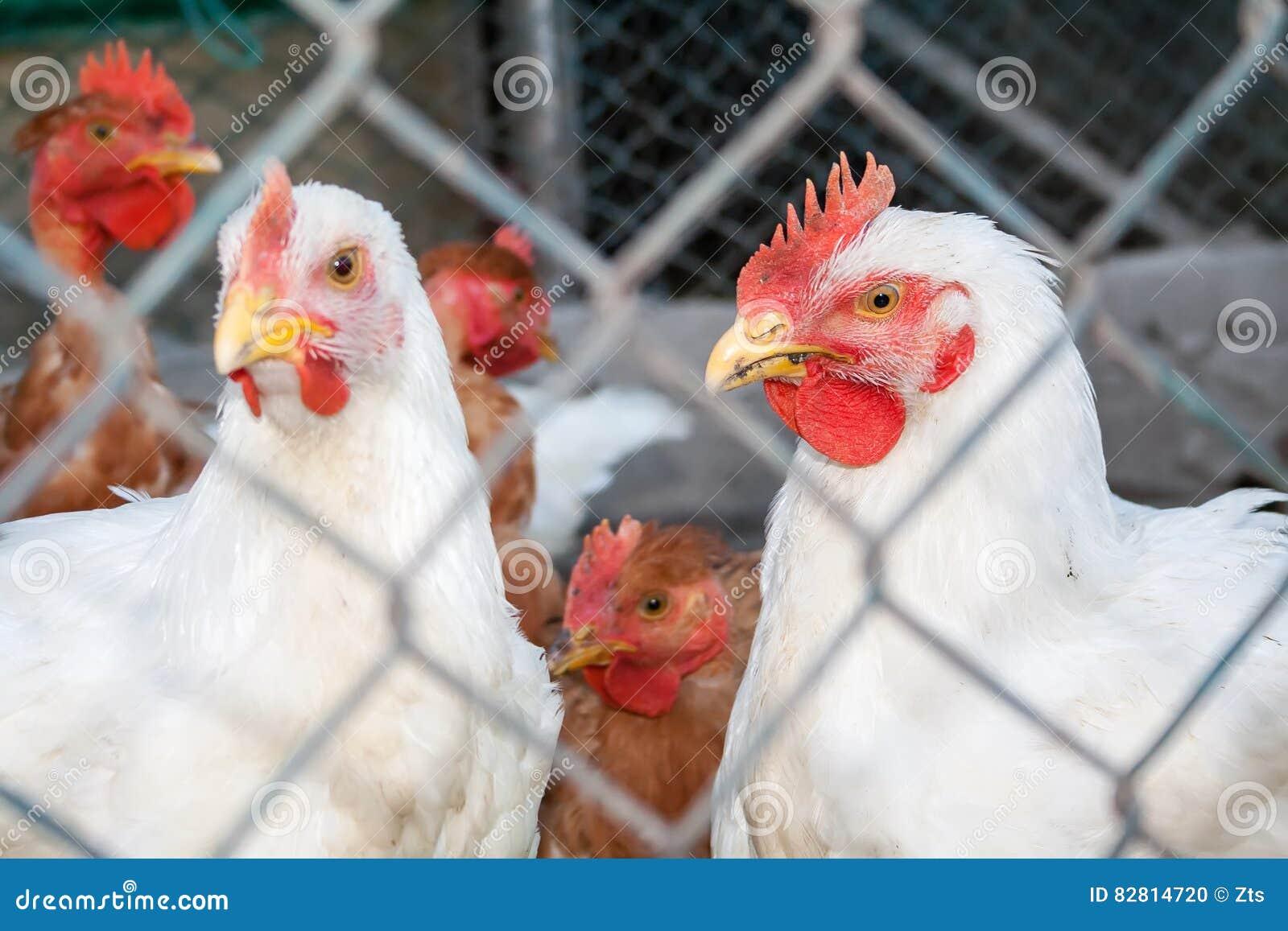 Dos pollos o gallinas blancos