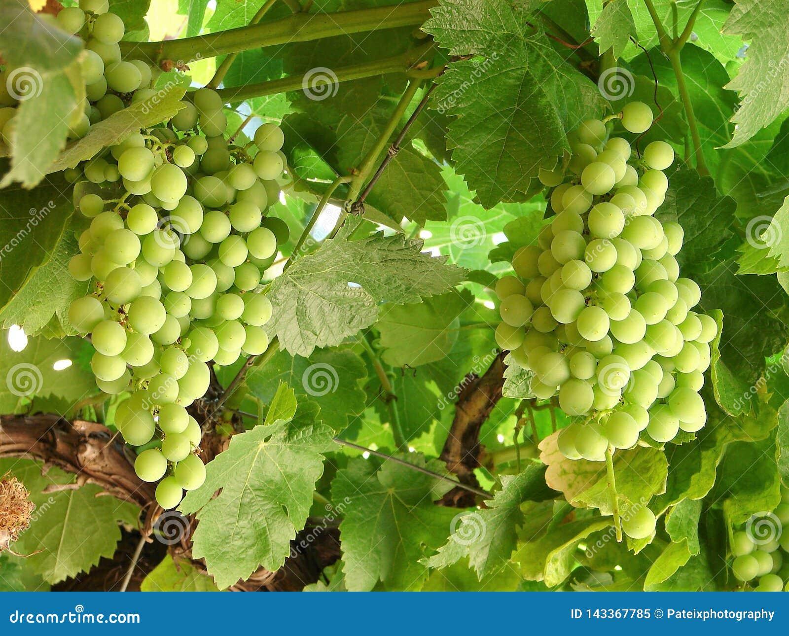 Dos racimos verdes maduros españoles de la uva que cuelgan en una rama
