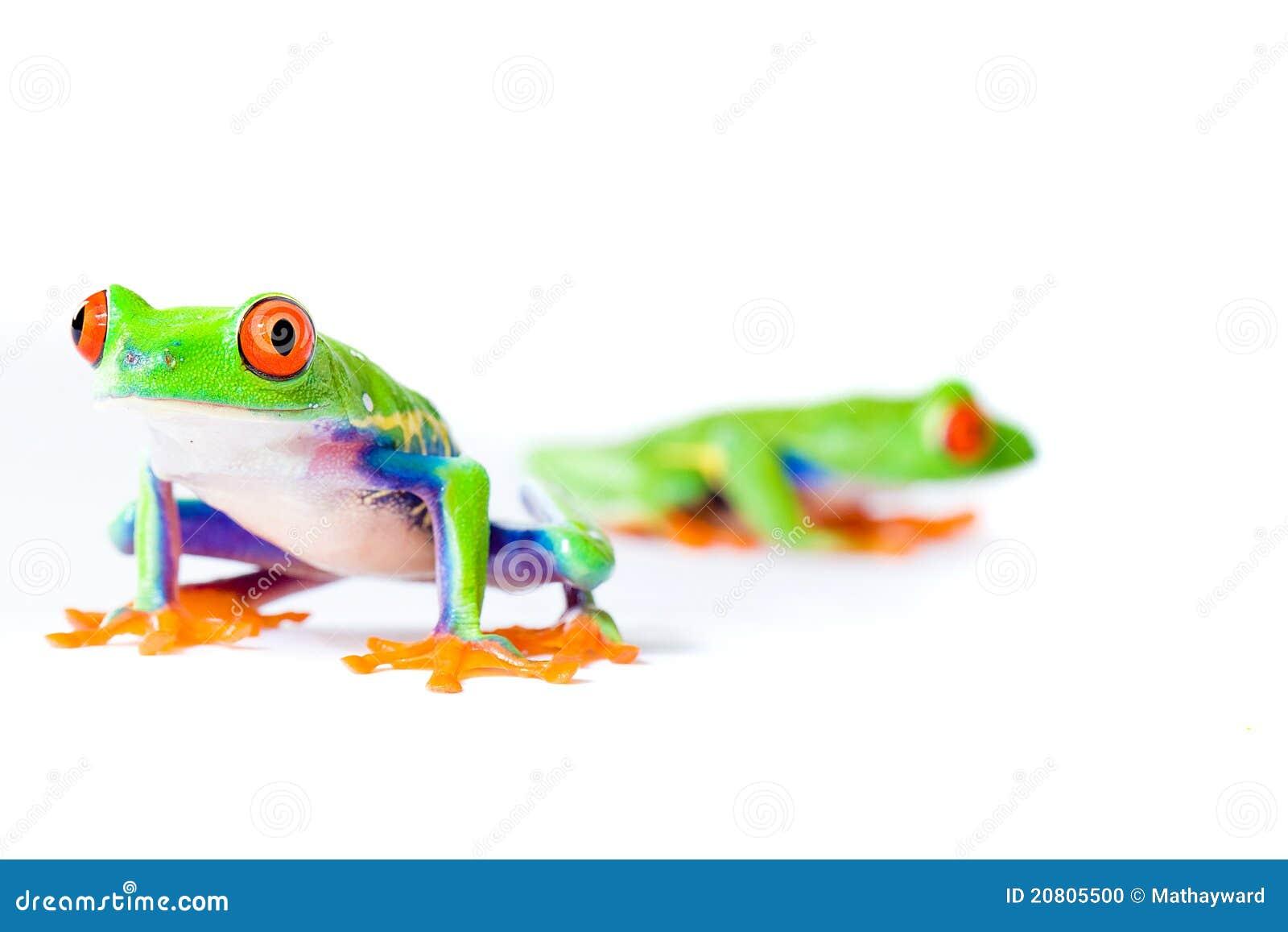 Dos ranas de árbol Eyed rojas
