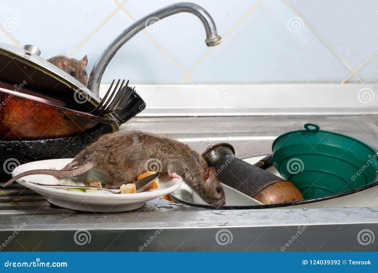 Dos ratas jovenes en el fregadero con loza sucia en la cocina