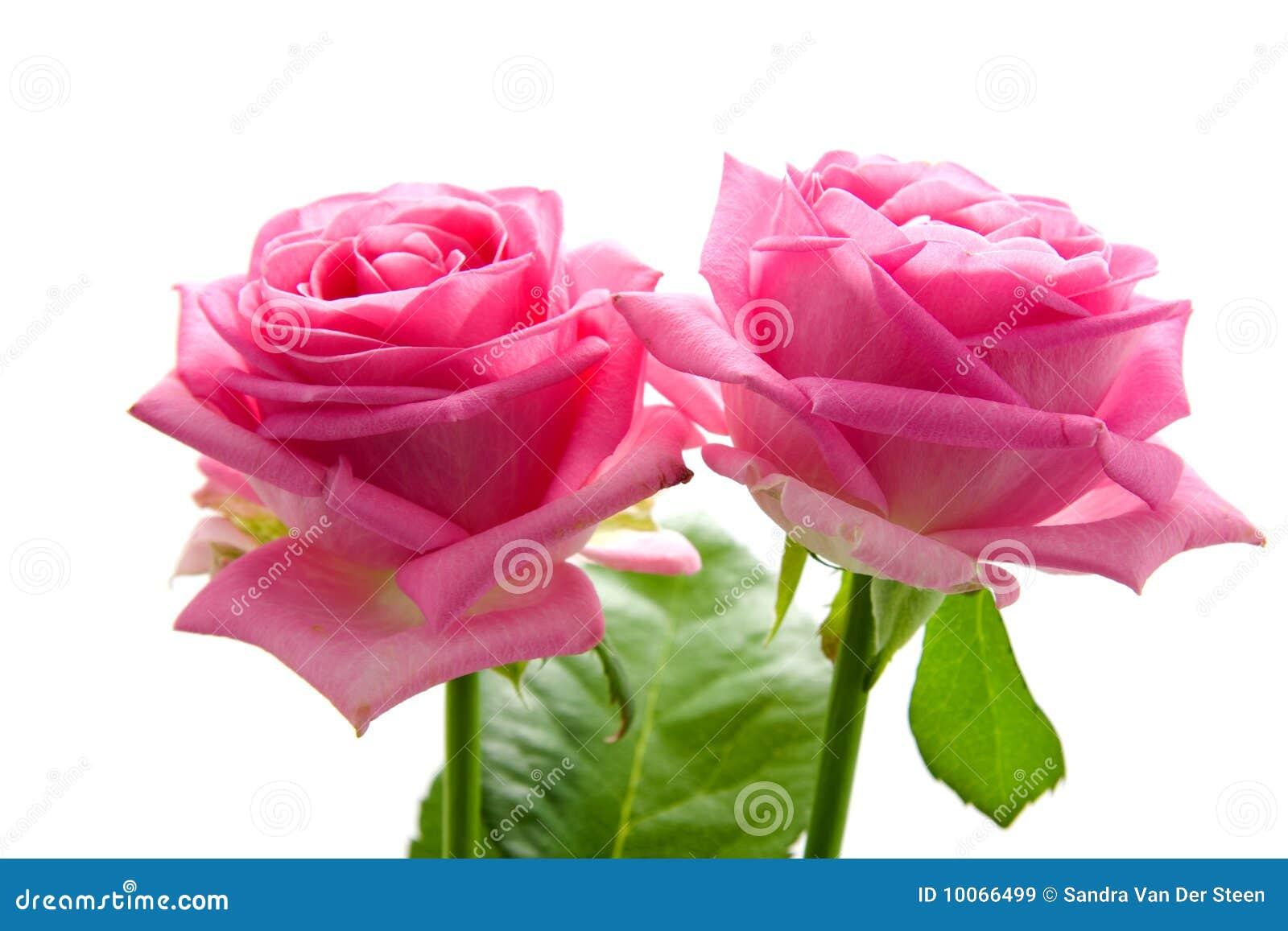 Dos rosas rosadas hermosas im genes de archivo libres de - Rosas rosas hermosas ...