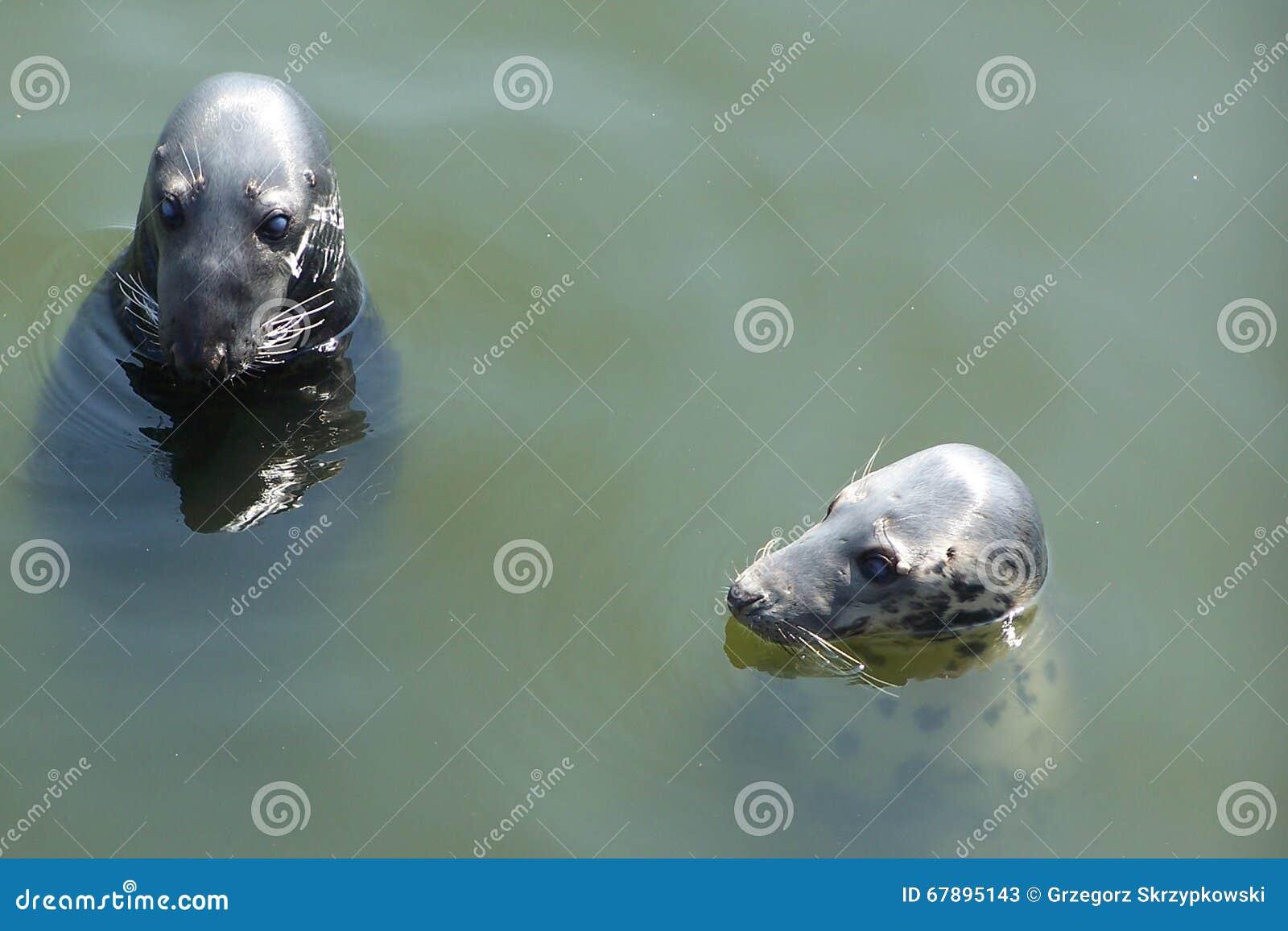 Dos sellos en el agua