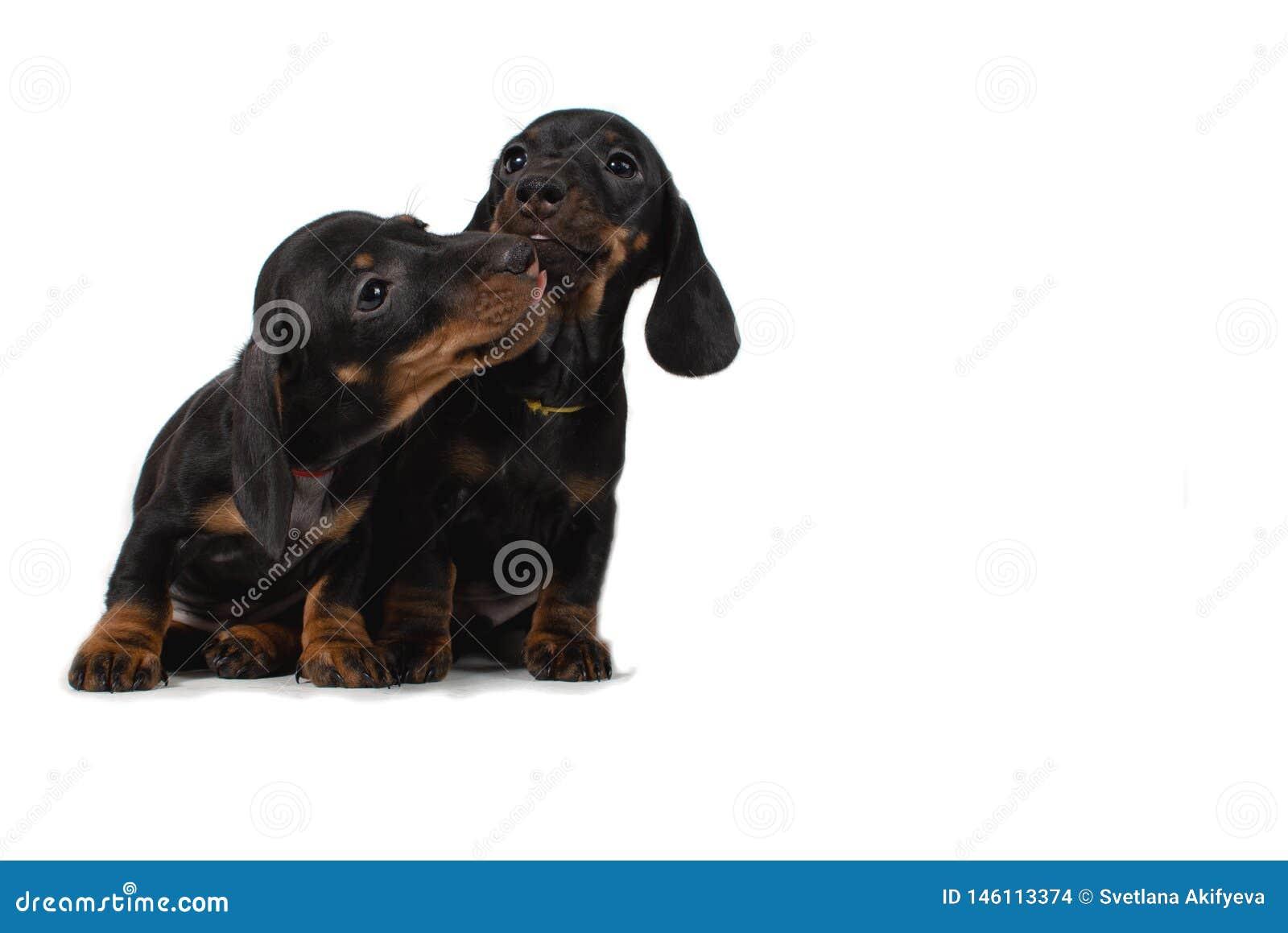 Dos tarifas del perrito sientan y se lamen Aislado en el fondo blanco