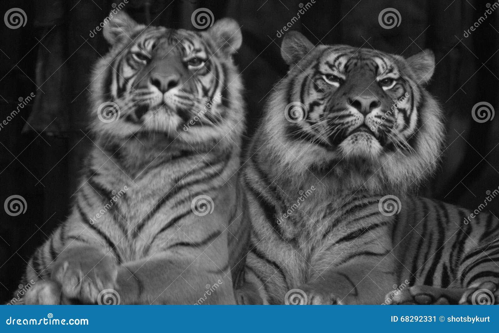 Dos tigres siberianos que se sientan uno al lado del otro