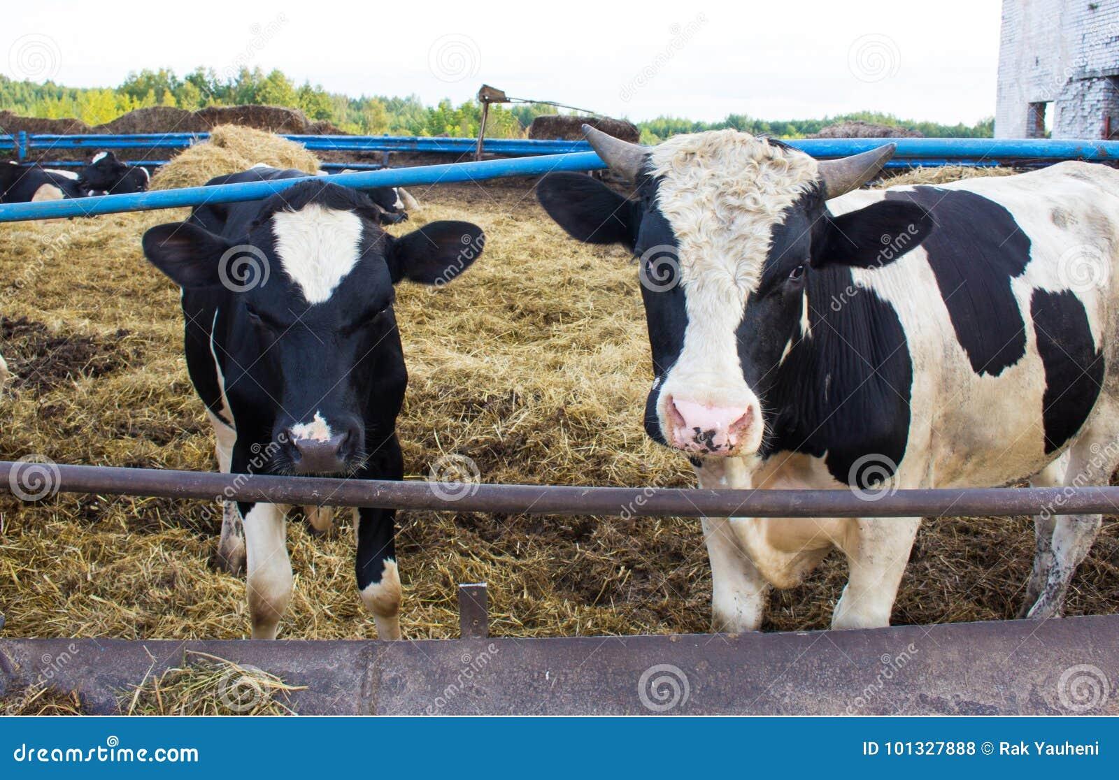 Dos toros tristes en la granja