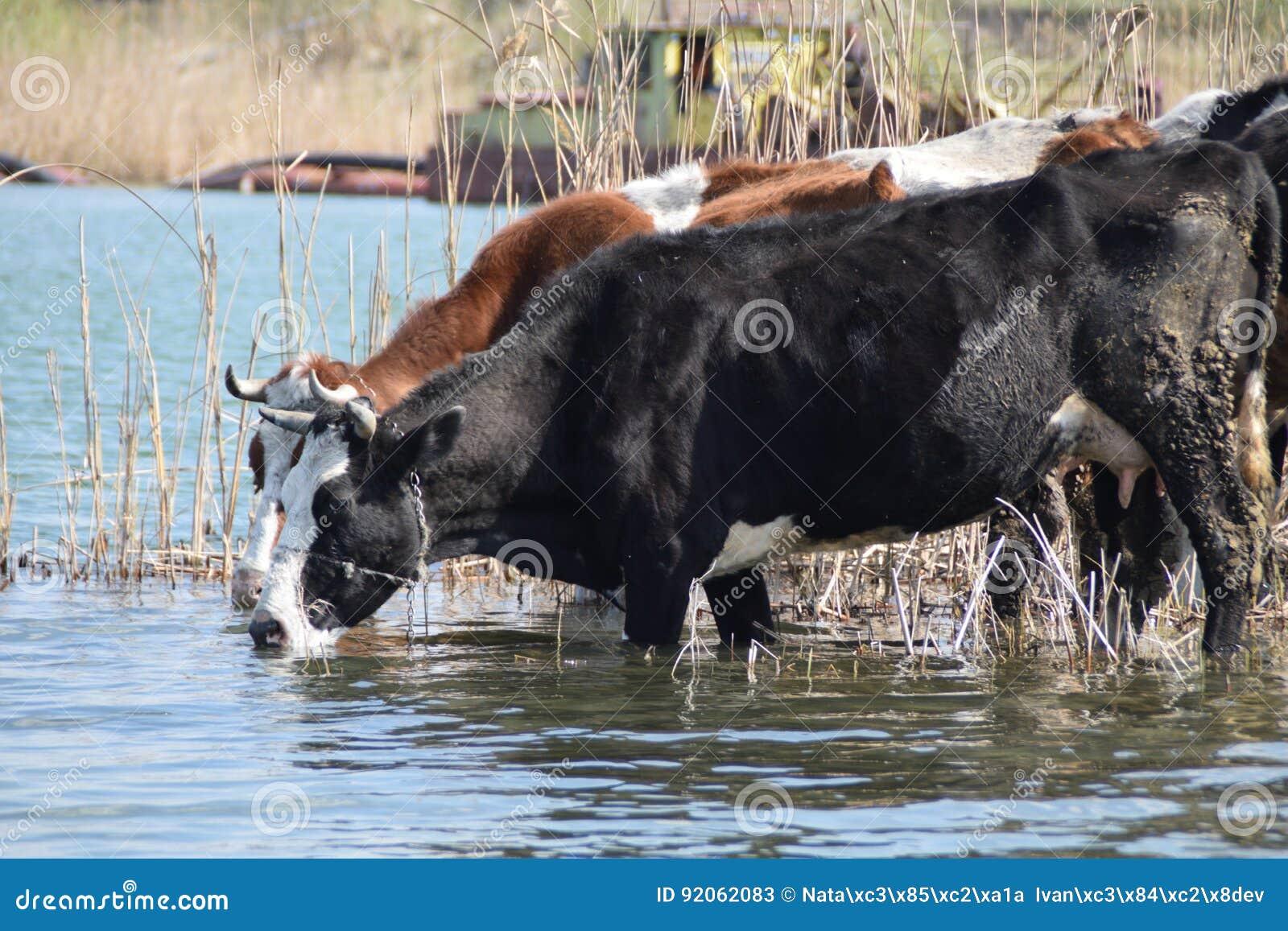 Dos vacas en el agujero de riego rodeado por las cañas, con un barco de dragado de la arena trabajando en el fondo