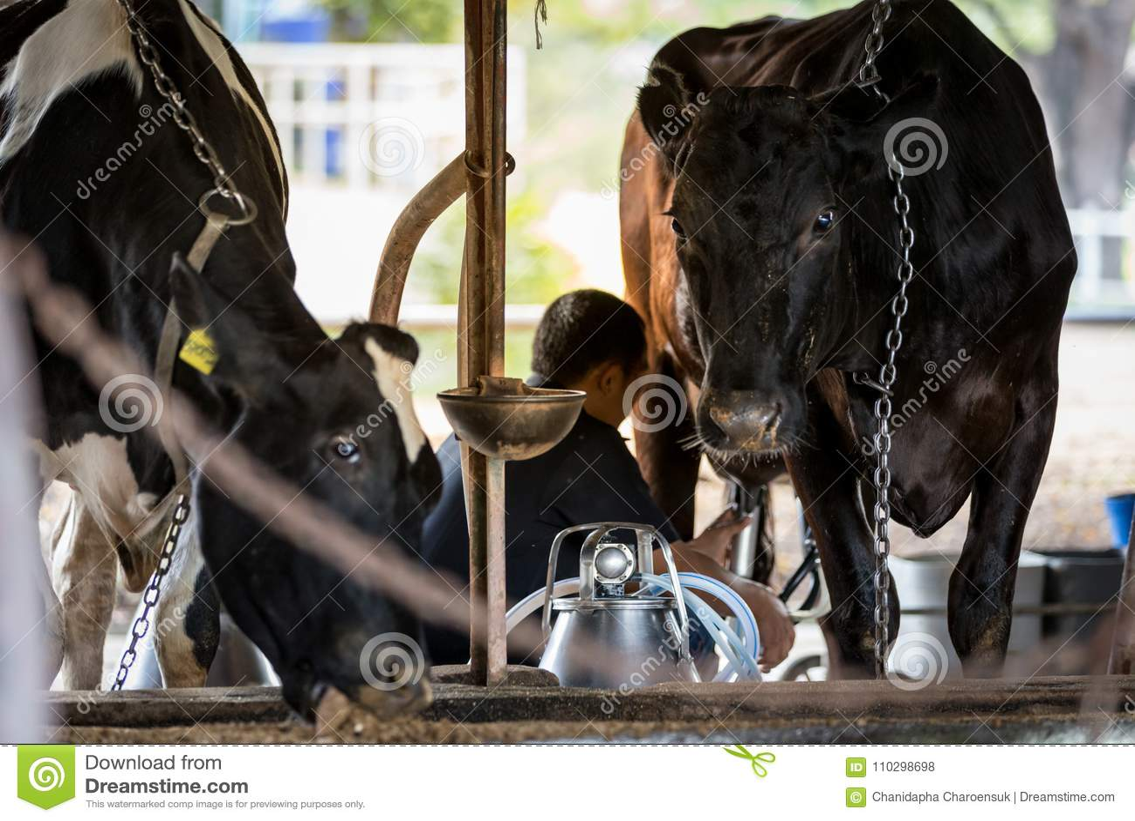 Dos vacas en la granja lechera y un hombre están ordeñando la vaca negra