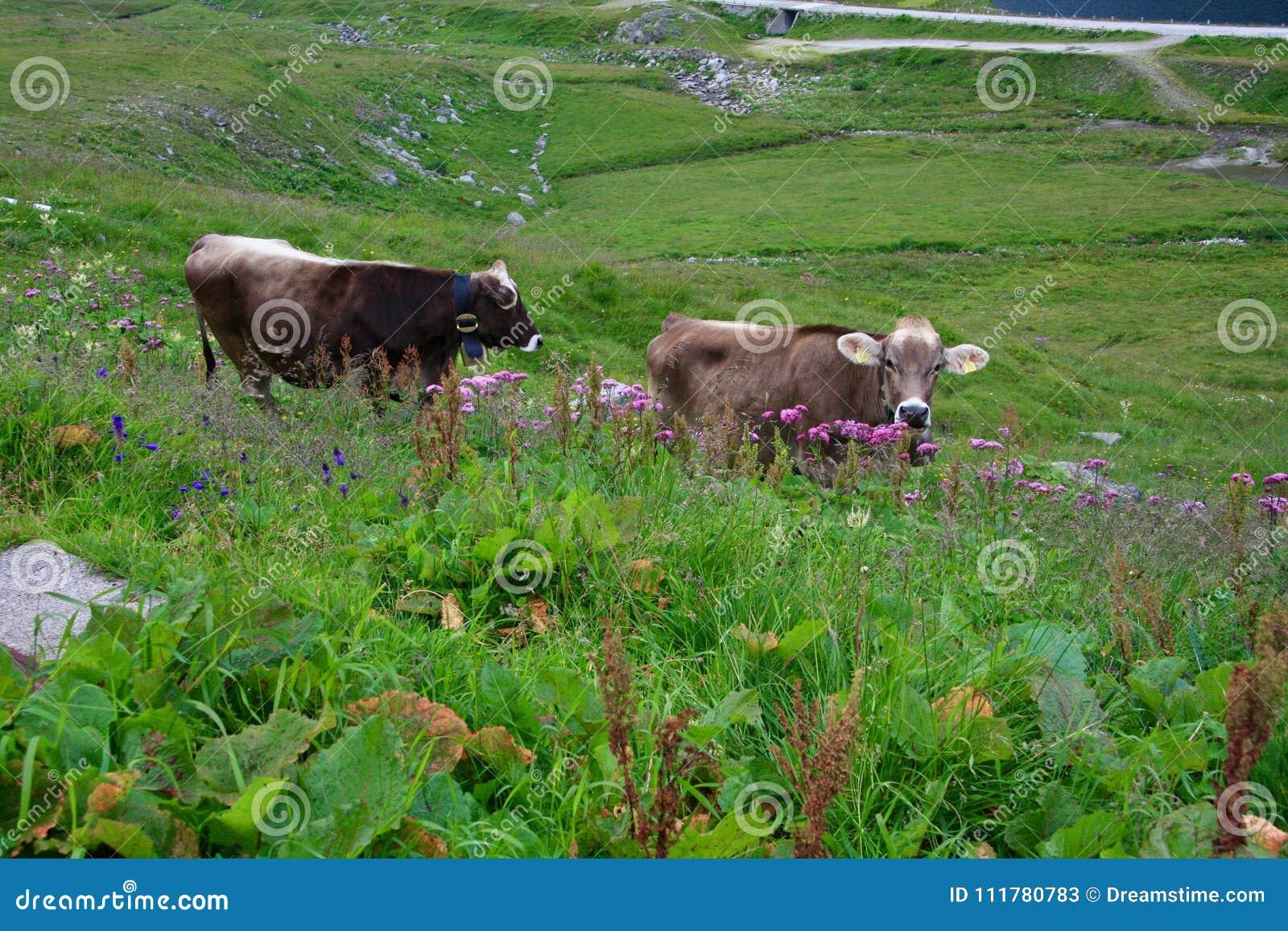 Dos vacas grises en el valle verde alpino Suiza
