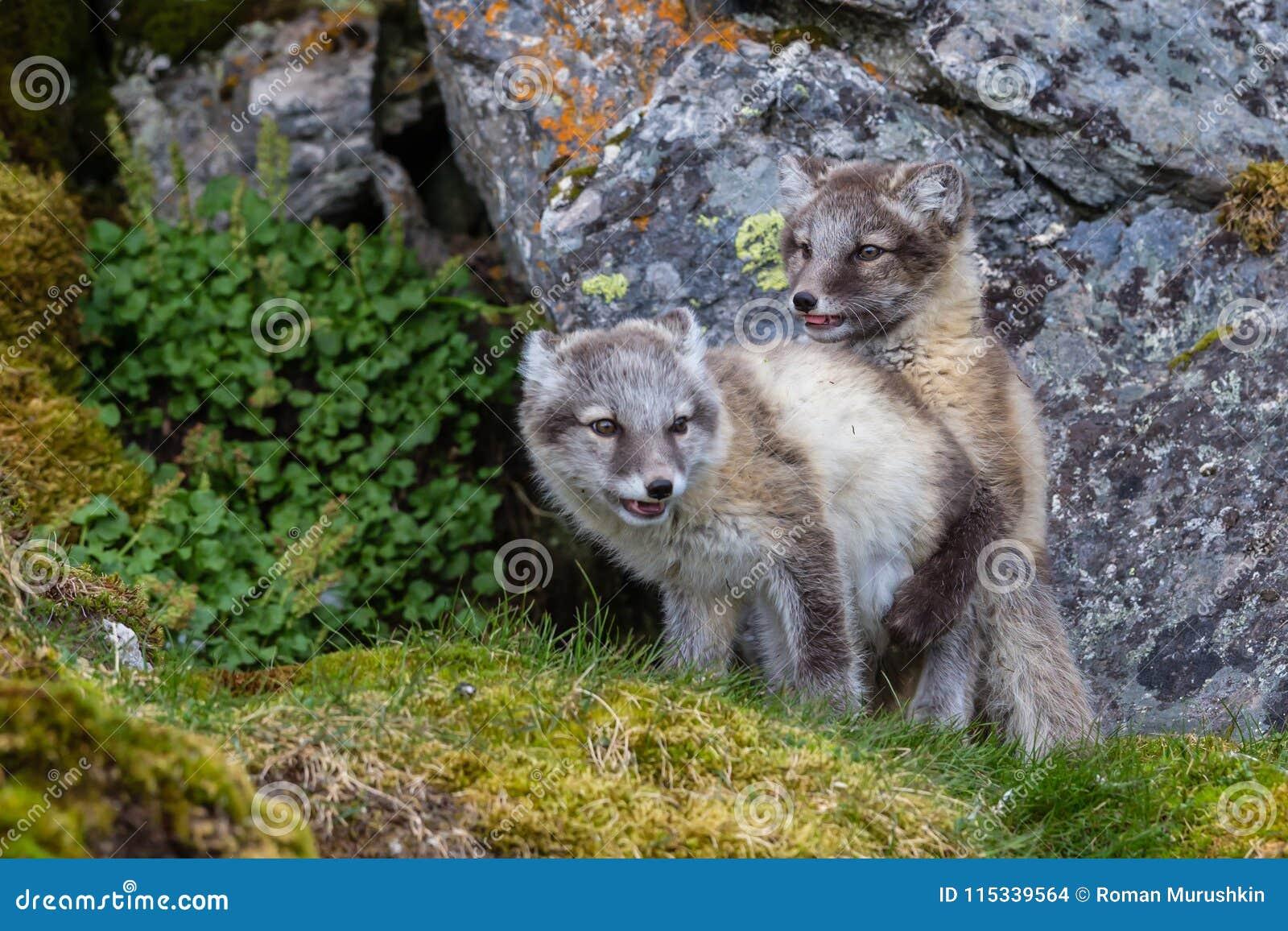 Dos zorros árticos son juego en la hierba verde debajo de la roca