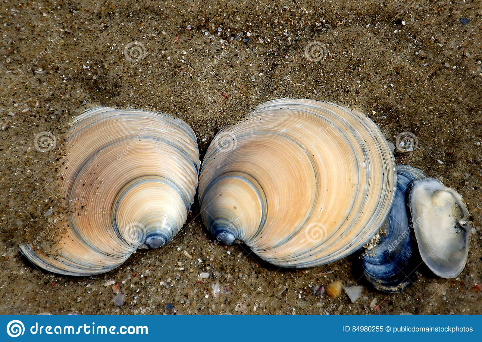 Download Dosinia Anus (ringed Venus Shell) Stock Image - Image of seashore, beach: 84980255