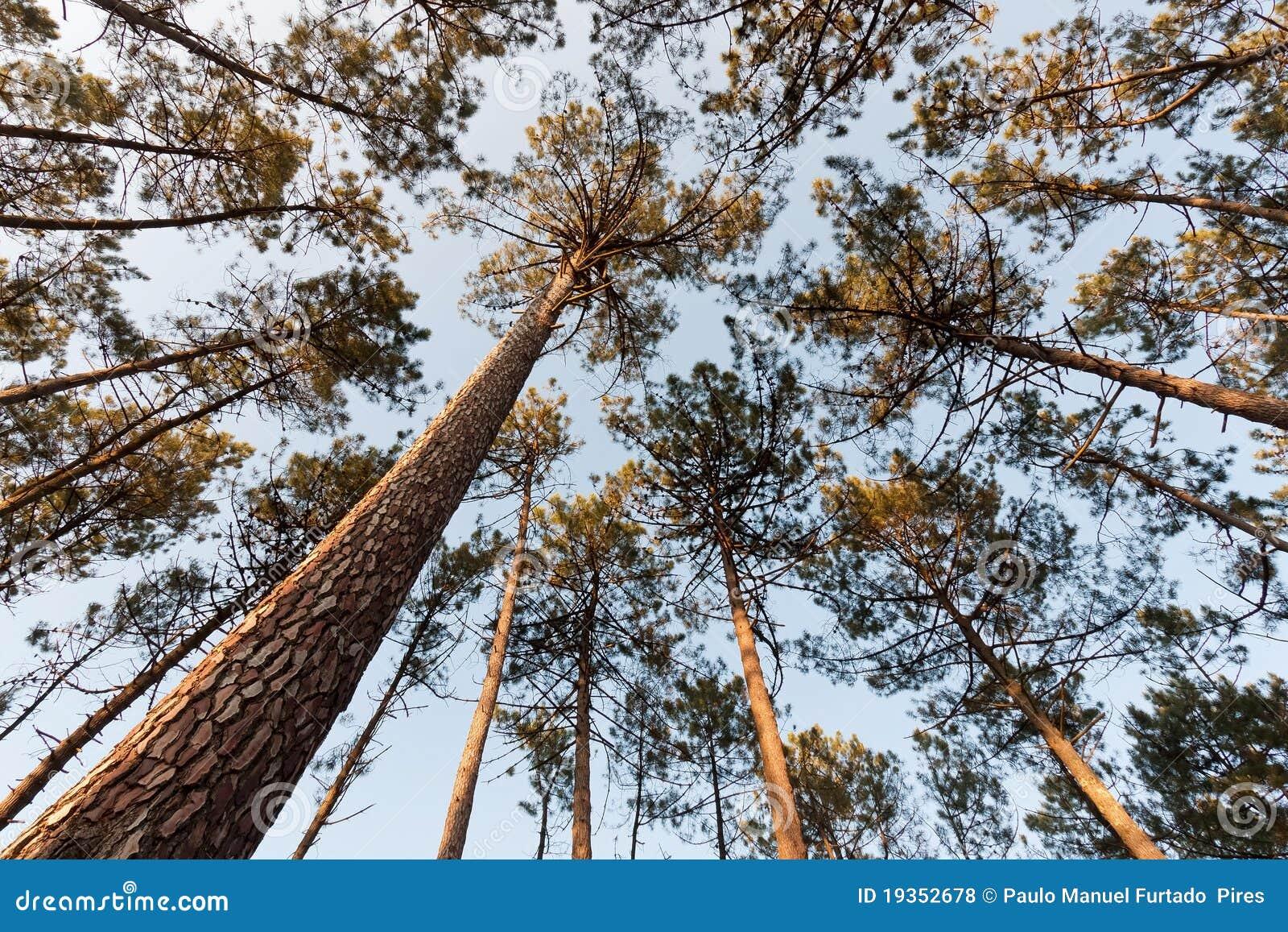 Dossel de árvore do pinho