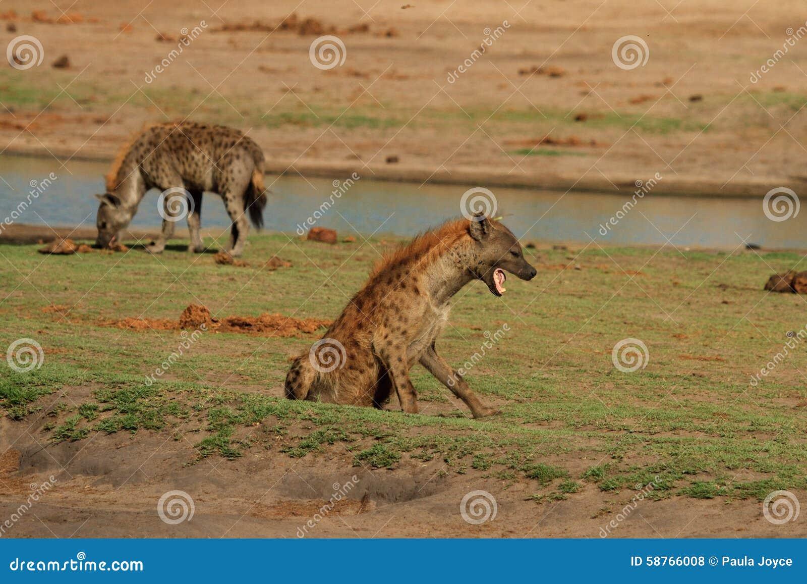 2 dostrzegali hieny na równinach w Hwange parku narodowym