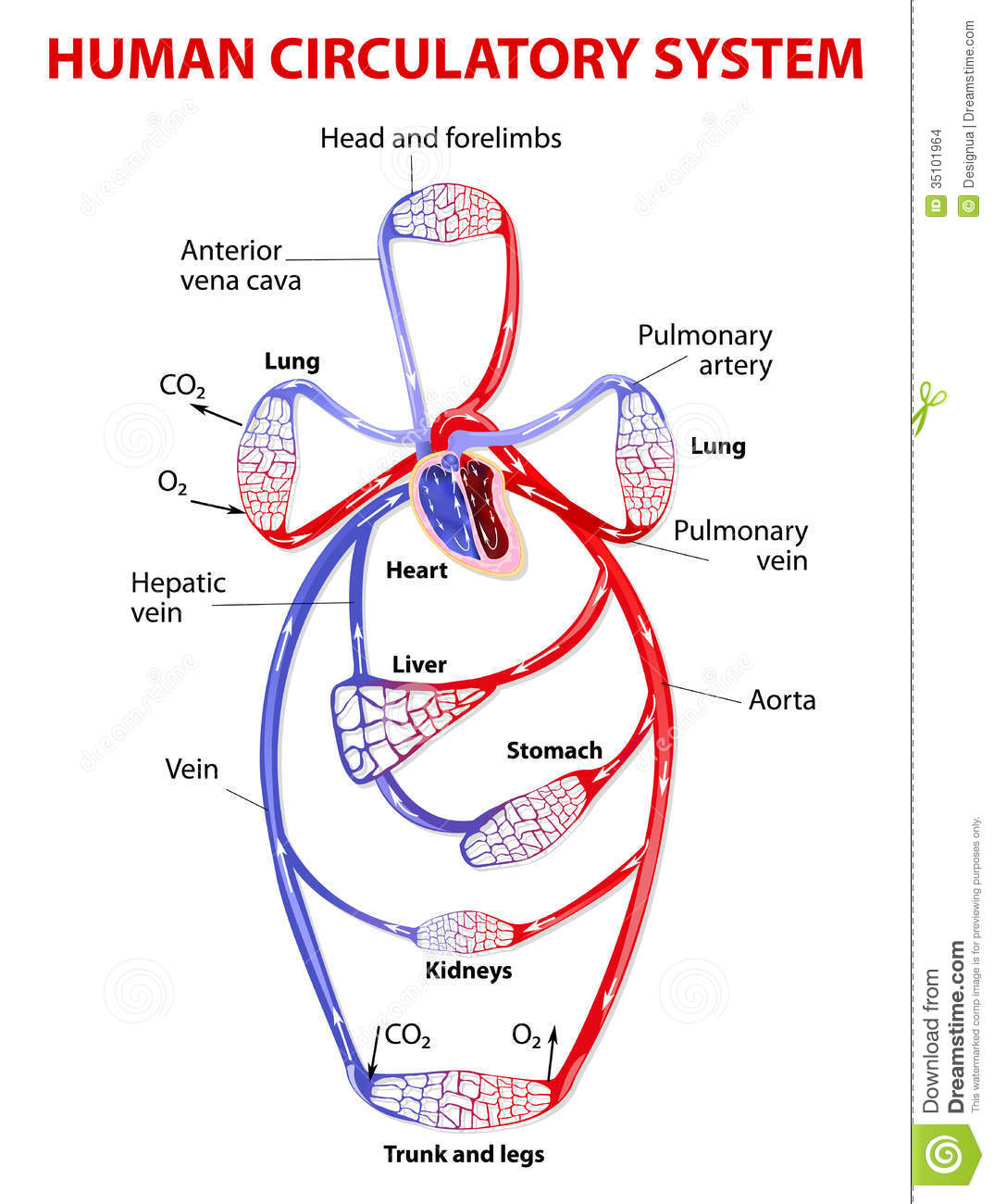 Double Circulatory System Stock Images - Image: 35101964