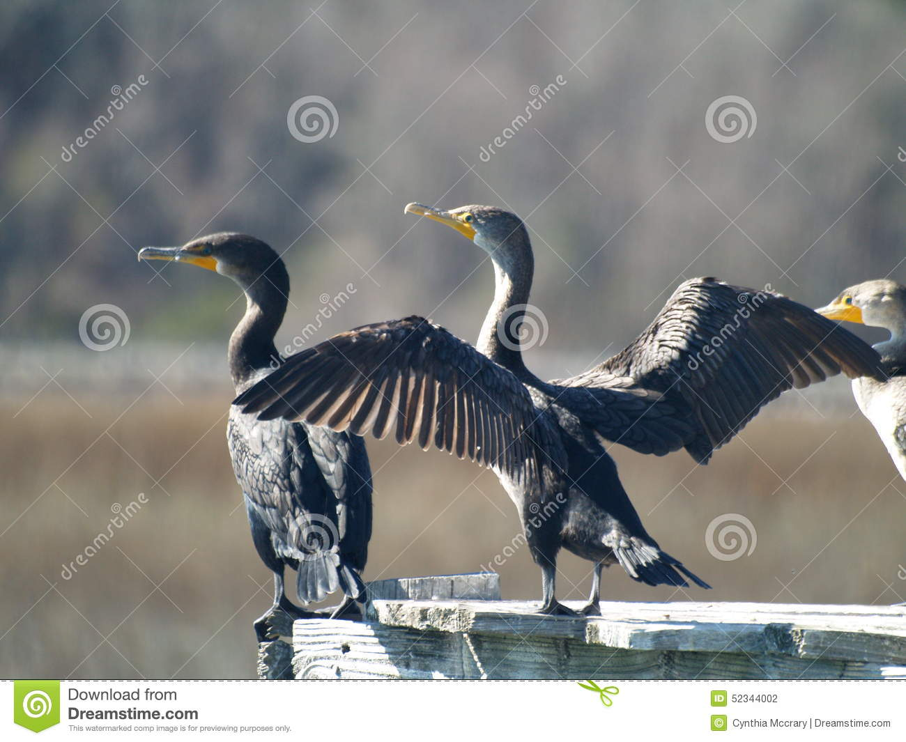 Download Double-Crested Cormorant stock photo. Image of carolina - 52344002
