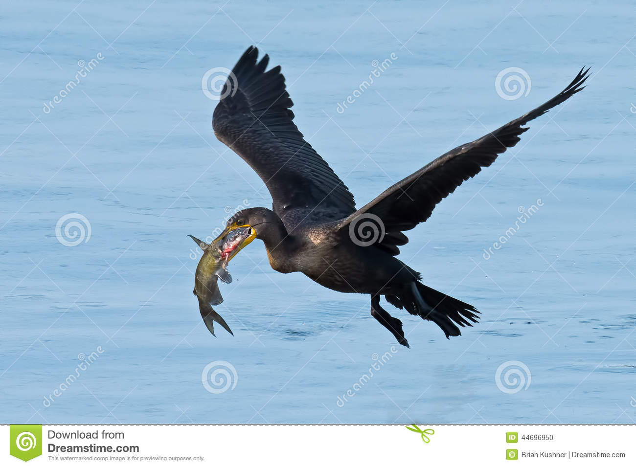 Download Double Crested Cormorant stock photo. Image of phalacrocorax - 44696950