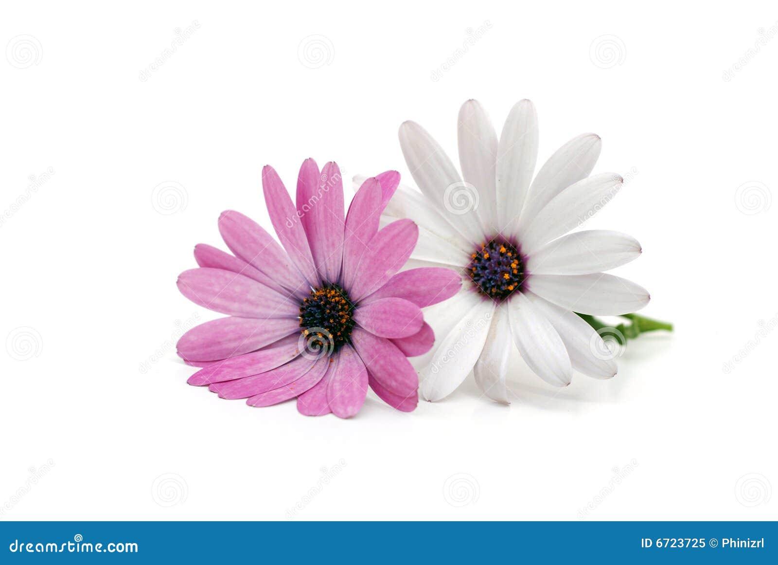 Double daisy stock image image of stem single season 6723725 double daisy izmirmasajfo Image collections