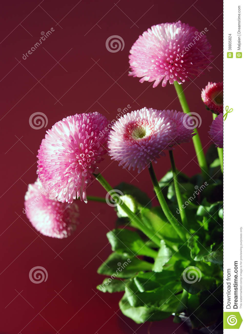 Double daisy flower stock photos download 213 images izmirmasajfo Image collections