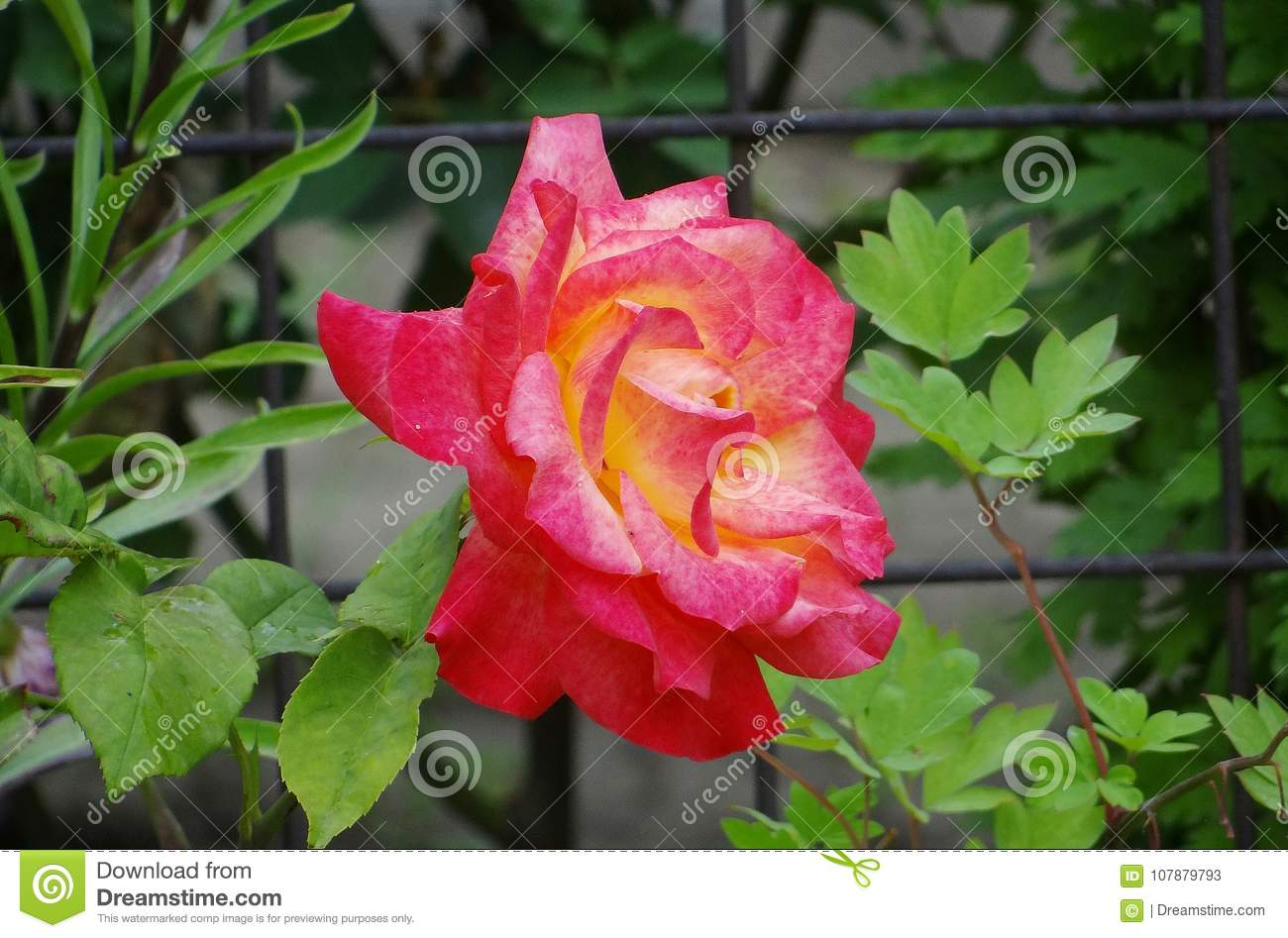 The `Double Delight` Rose stock image  Image of popular