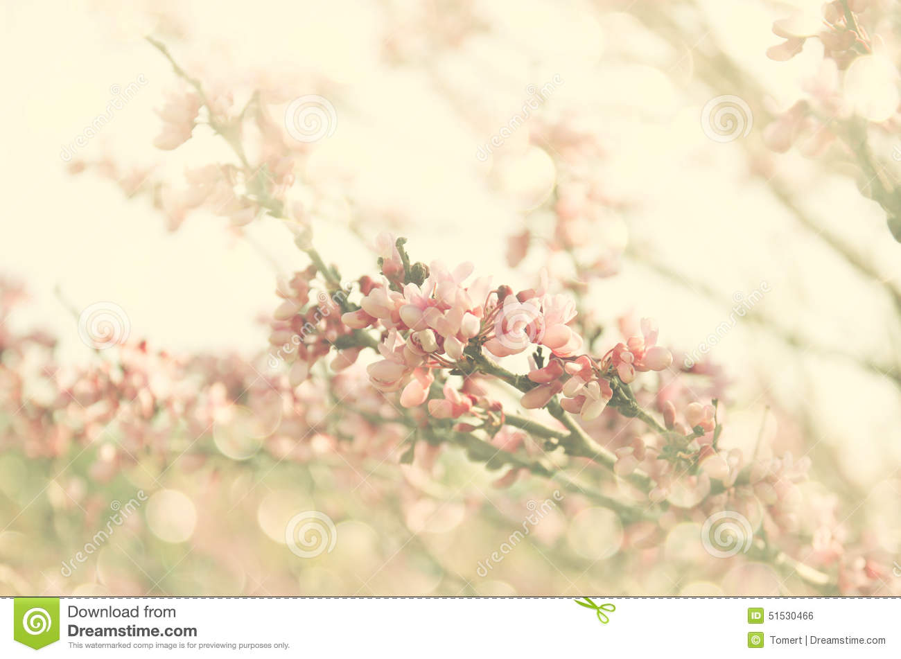 Double Exposure Of Spring Cherry Blossoms Tree. Abstract ...