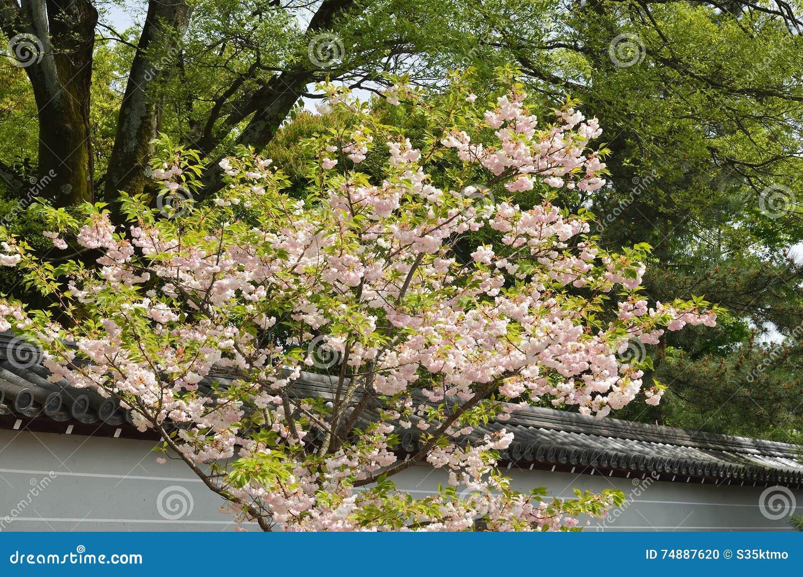 Double-flowered Cherry Tree At Ninnaji Temple, Kyoto Japan ...