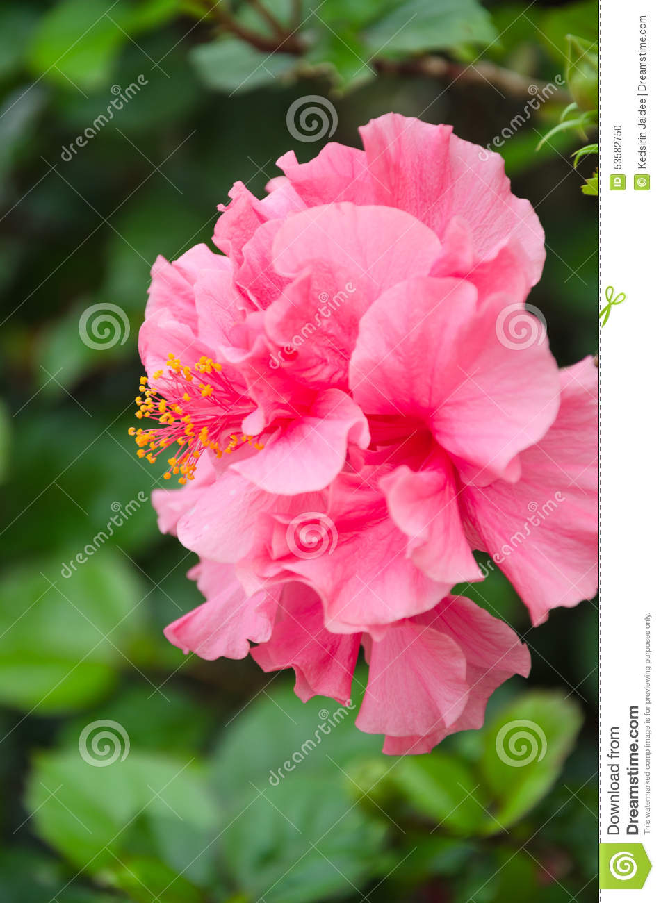 Double hibiscus flower stock photo image of decoration 53582750 double hibiscus flower decoration leaf izmirmasajfo Image collections