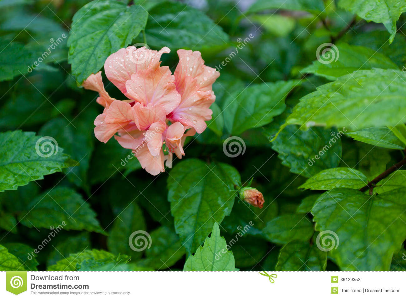 Double hibiscus flower stock photo image of plant decoration double hibiscus flower izmirmasajfo Image collections