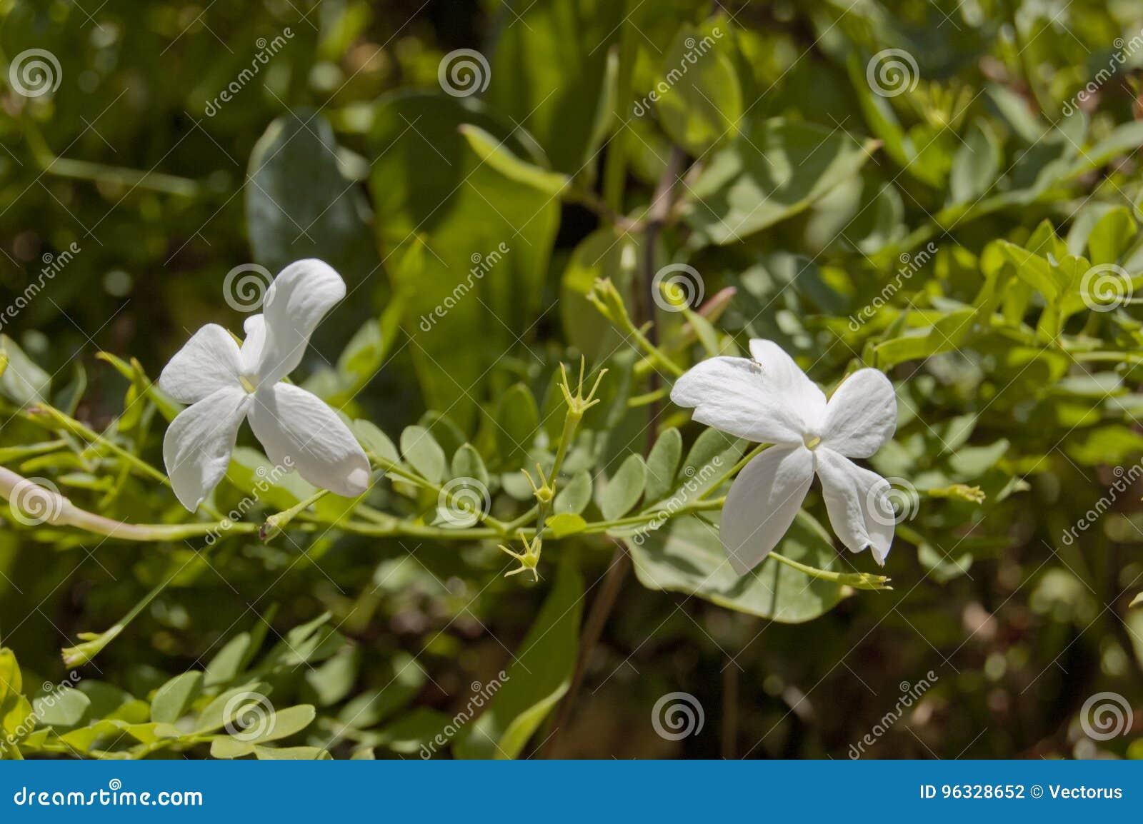 Double Jasmine Flower Photo Stock Photo Image Of Botanical Leaf