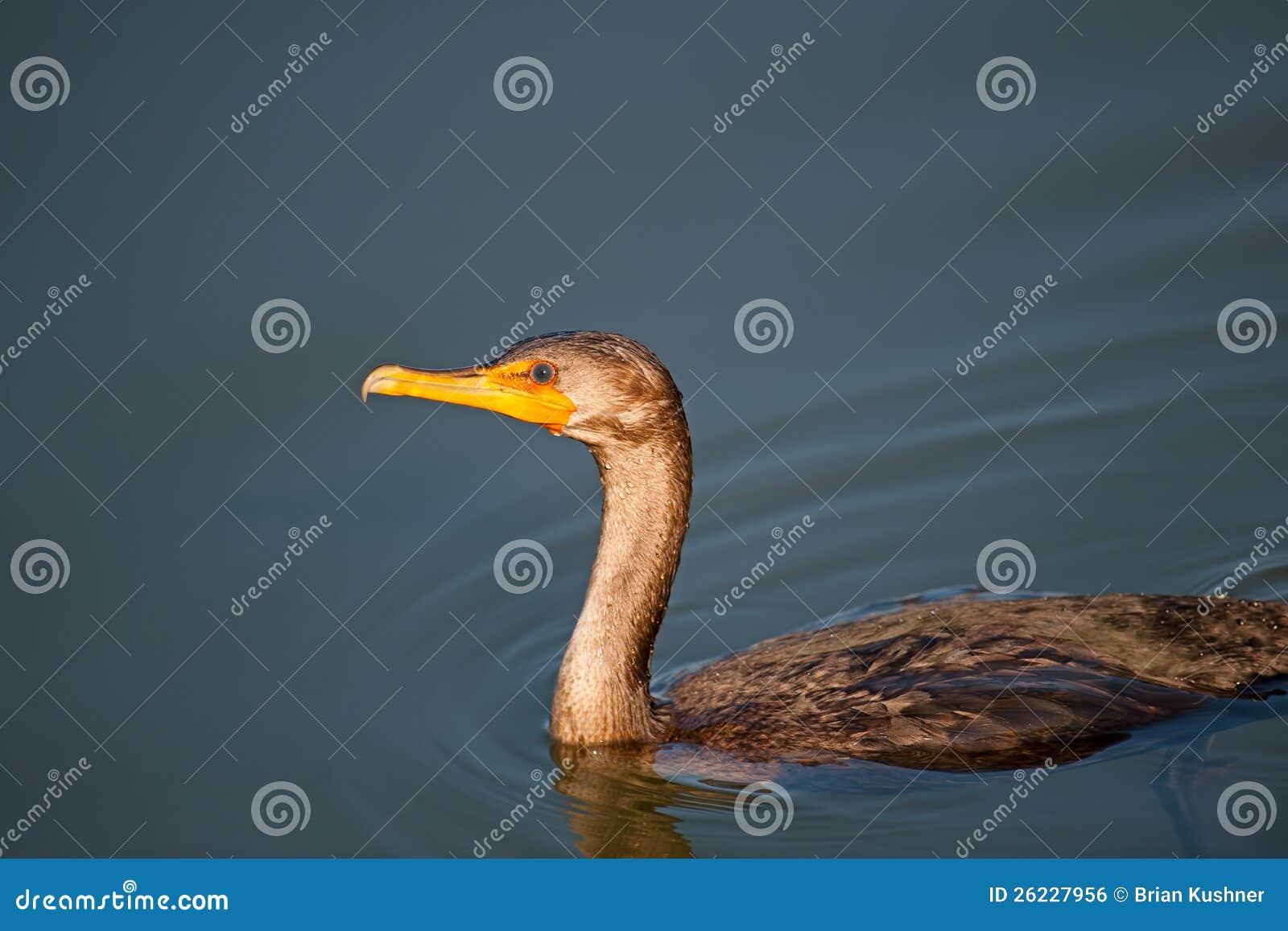 Double krönad Cormorant