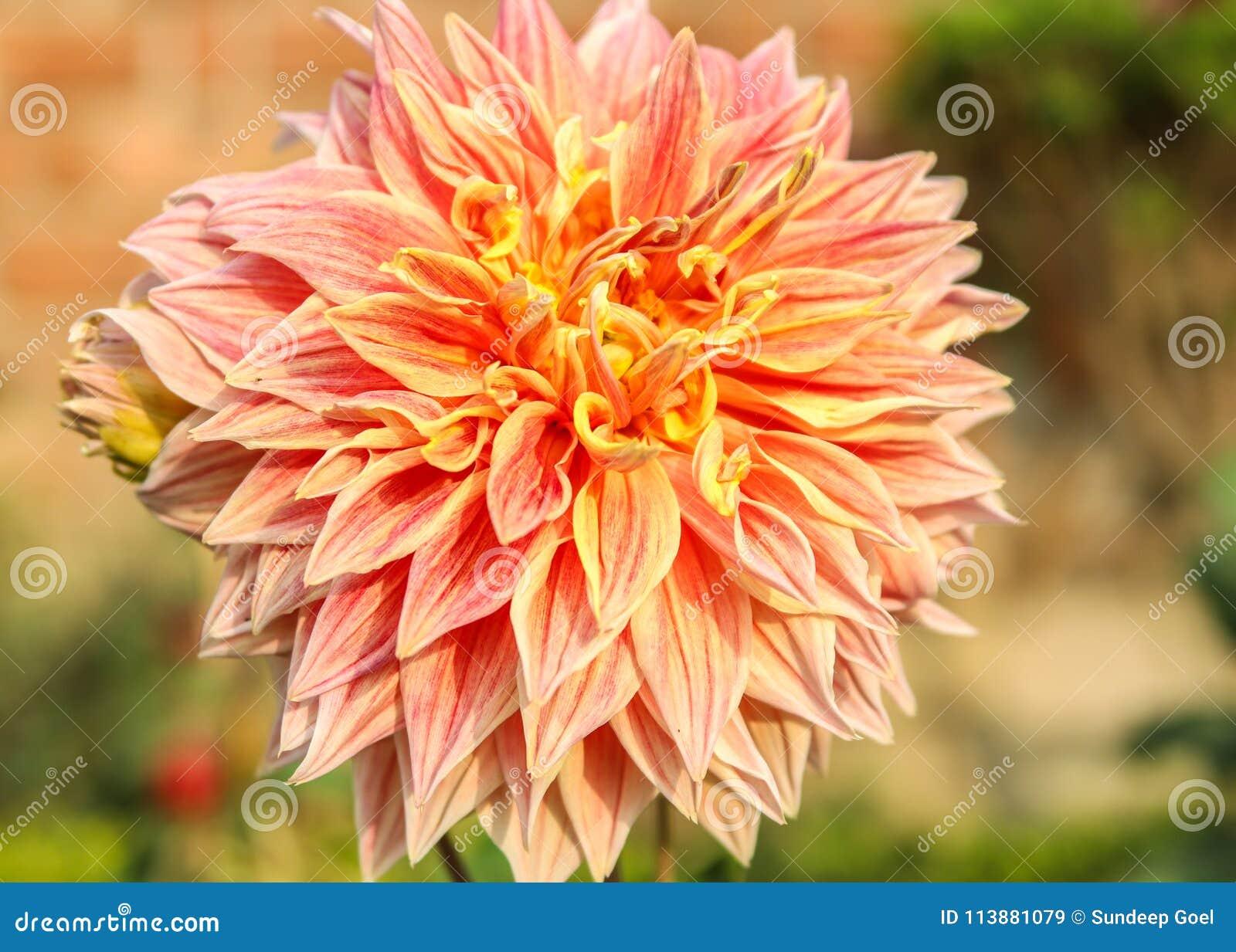 Double Orange Dahlia Flower Stock Image Image Of Dalia Botanical