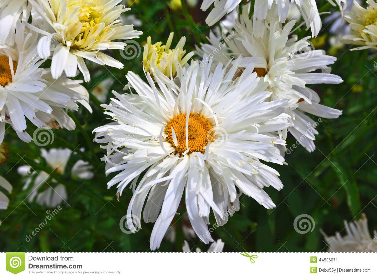 Double Petal Daisy Stock Image Image Of Natural Flower 44536071
