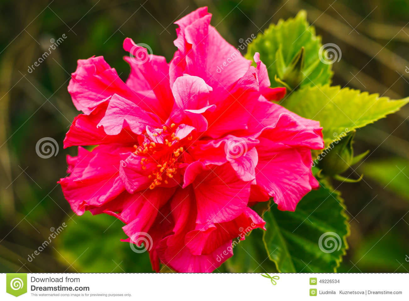Double pink hibiscus on tree in the garden stock photo image of royalty free stock photo izmirmasajfo Image collections
