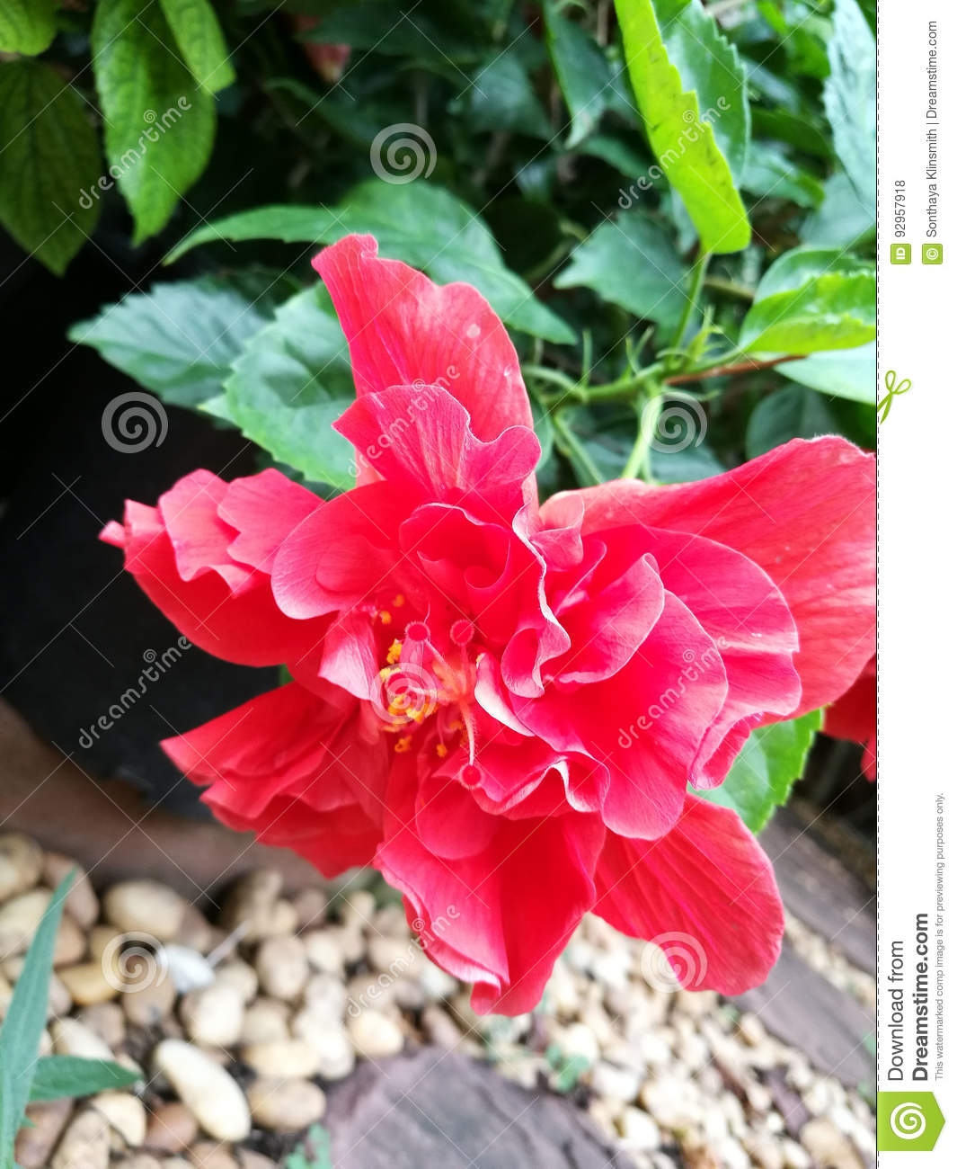 Double Red Hibiscus Stock Photo Image Of Green Tropical 92957918