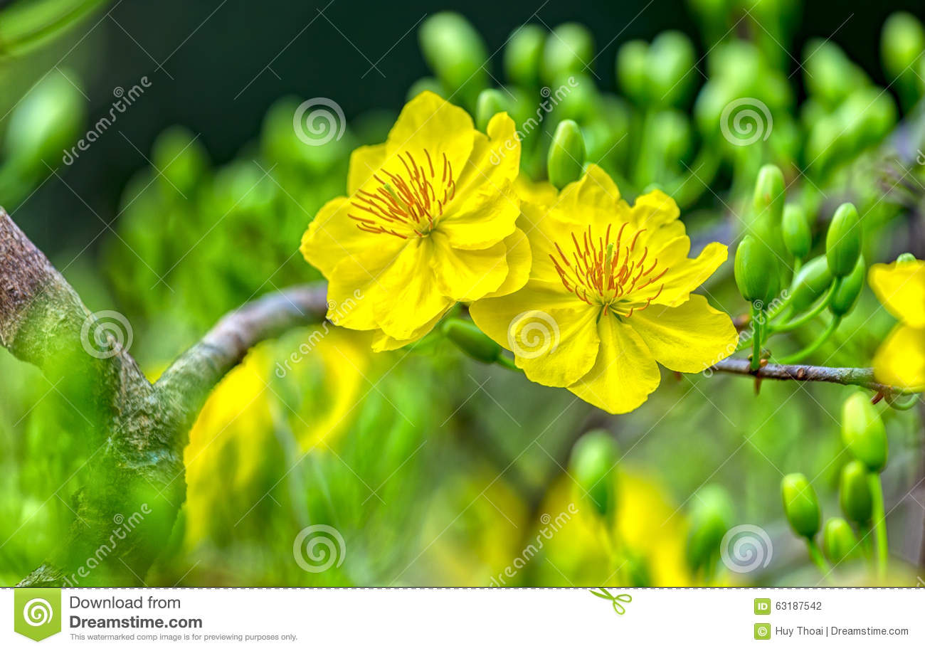 100 Flowers Bloom Flowers Flowers Pink Beautiful  : double yellow apricot flowers bloom together spring morning petals happy next to buds buds 63187542 from 45.76.23.192 size 1300 x 915 jpeg 146kB