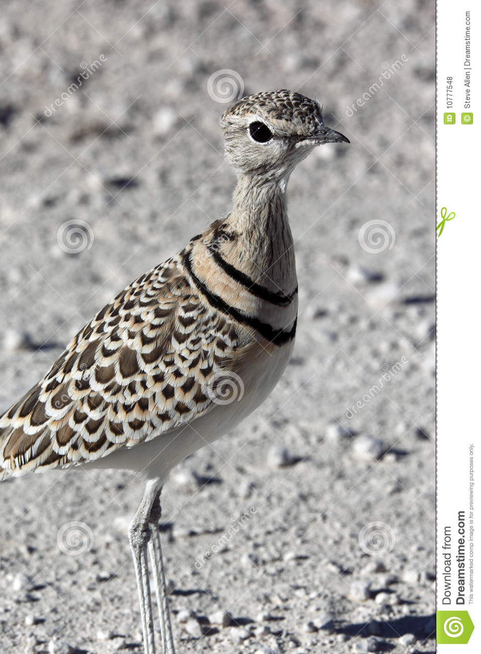 Doublebanded Courser