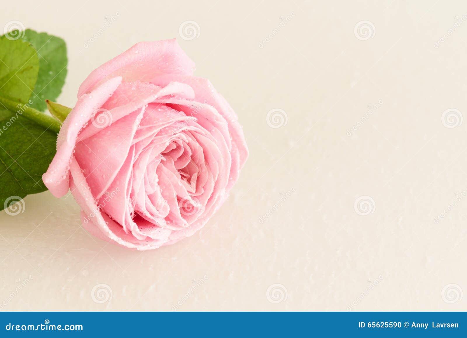 Doucement rose de rose avec des baisses de l eau