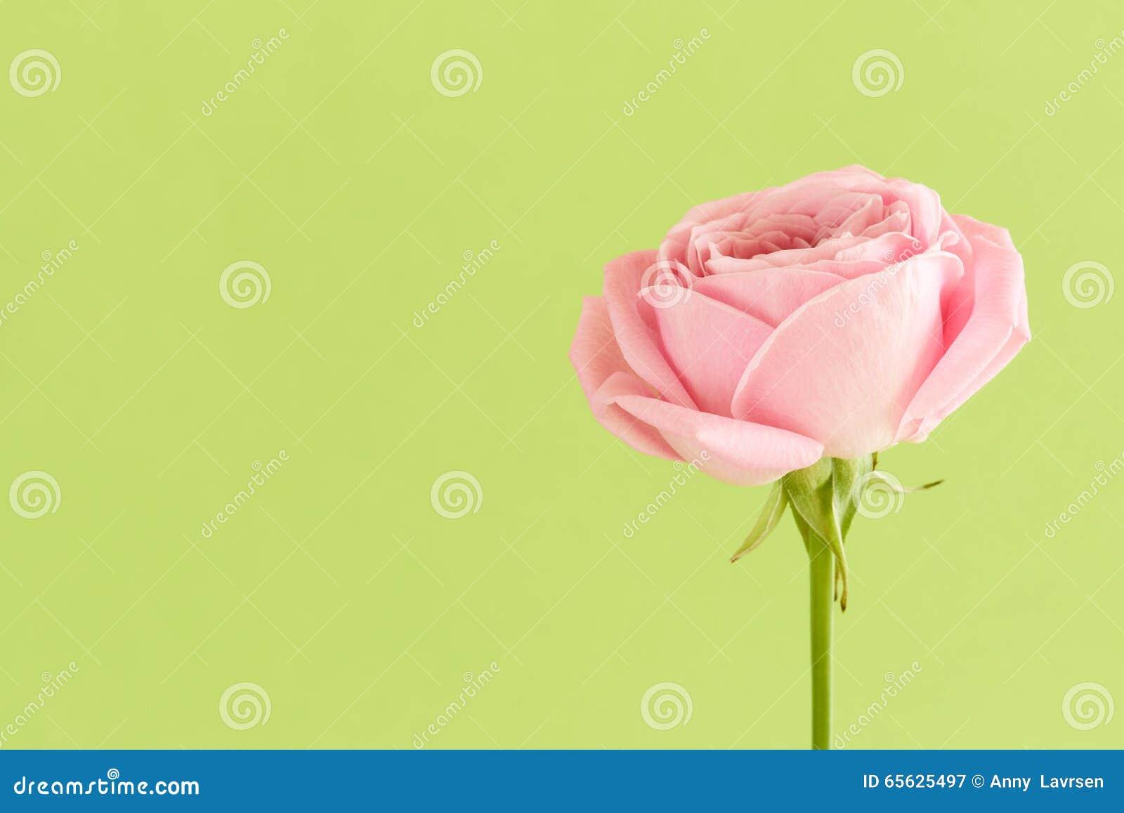 Doucement rose de rose sur le fond vert