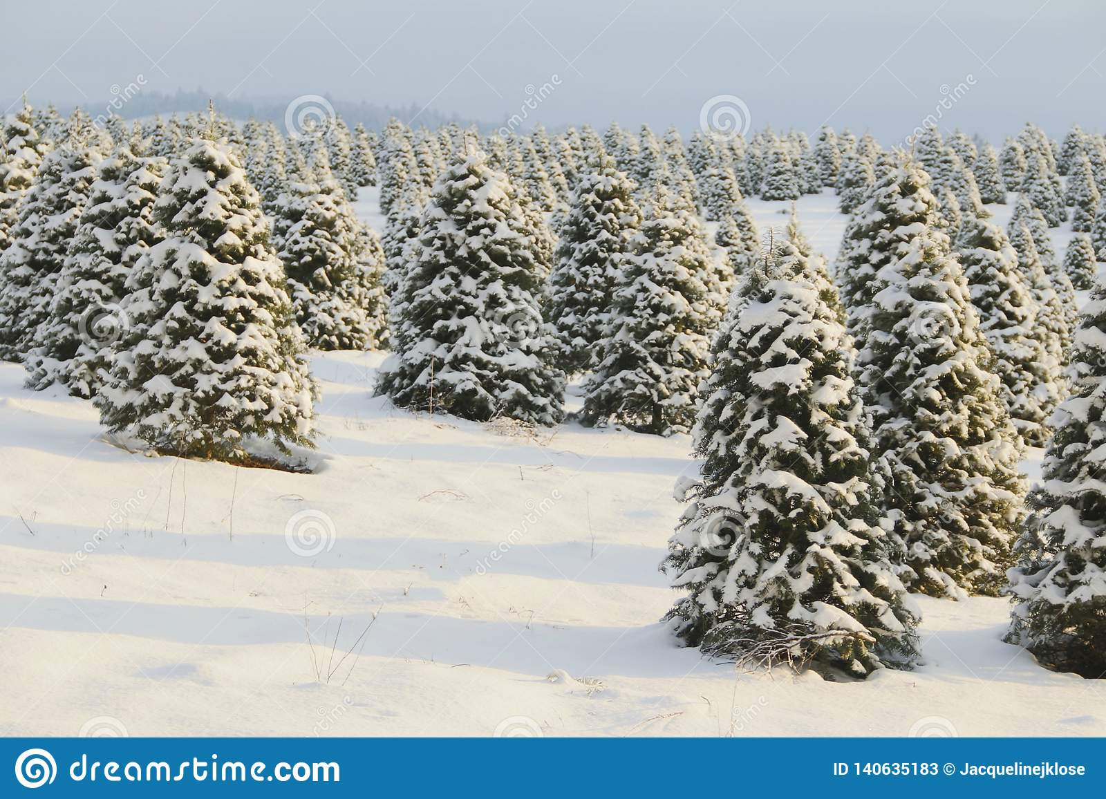 Douglas Fir Christmas Tree Farm Covered In A Blanket Of Snow A Winter Wonderland Trees Shown Is Soft Focus In Background Hazy Stock Image Image Of Jack Greeting 140635183